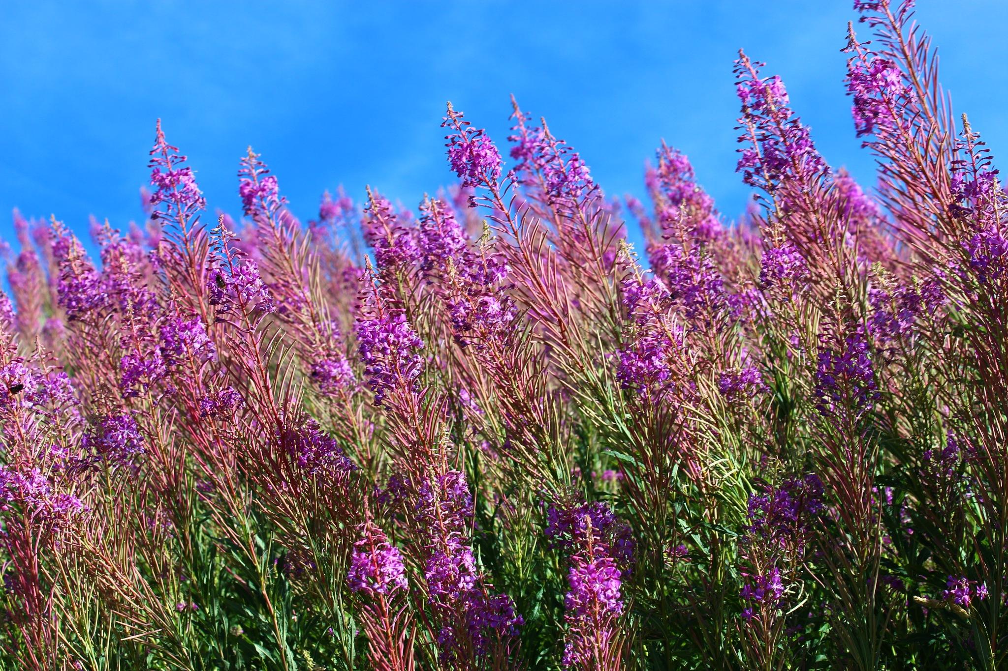 Ces fleurs poussent uniquement à 1500m d'altitude  by CaptureOfAlex