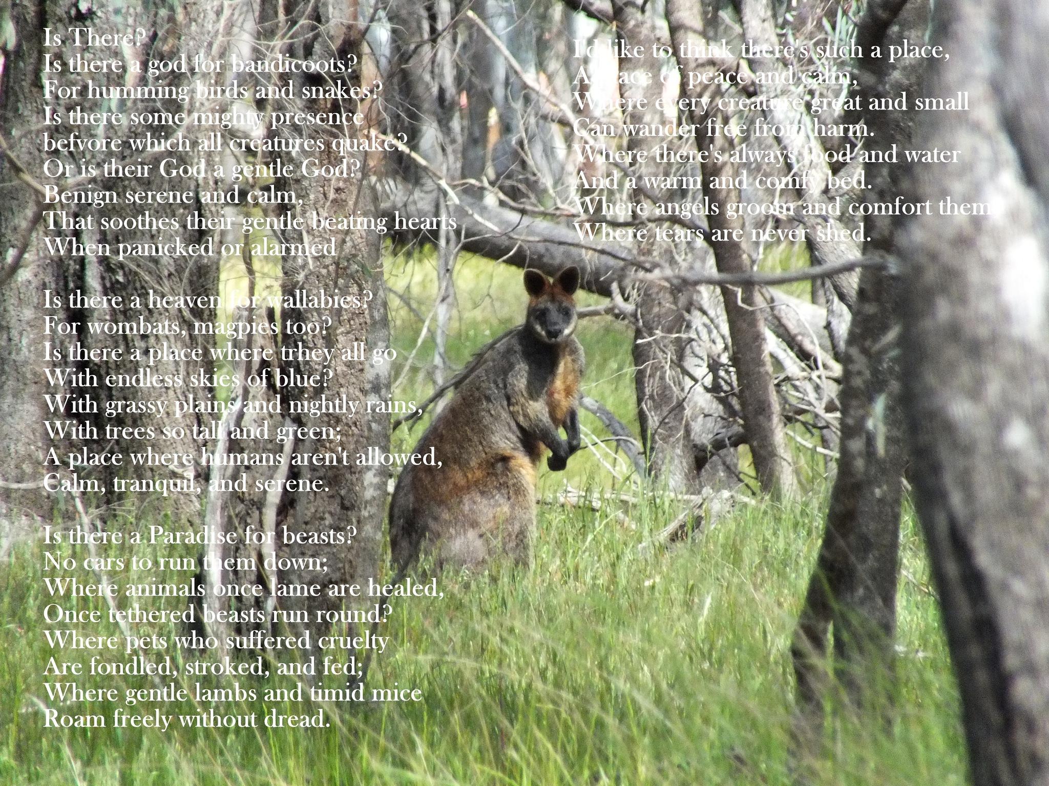 Swamp Wallaby by Paul Bownas