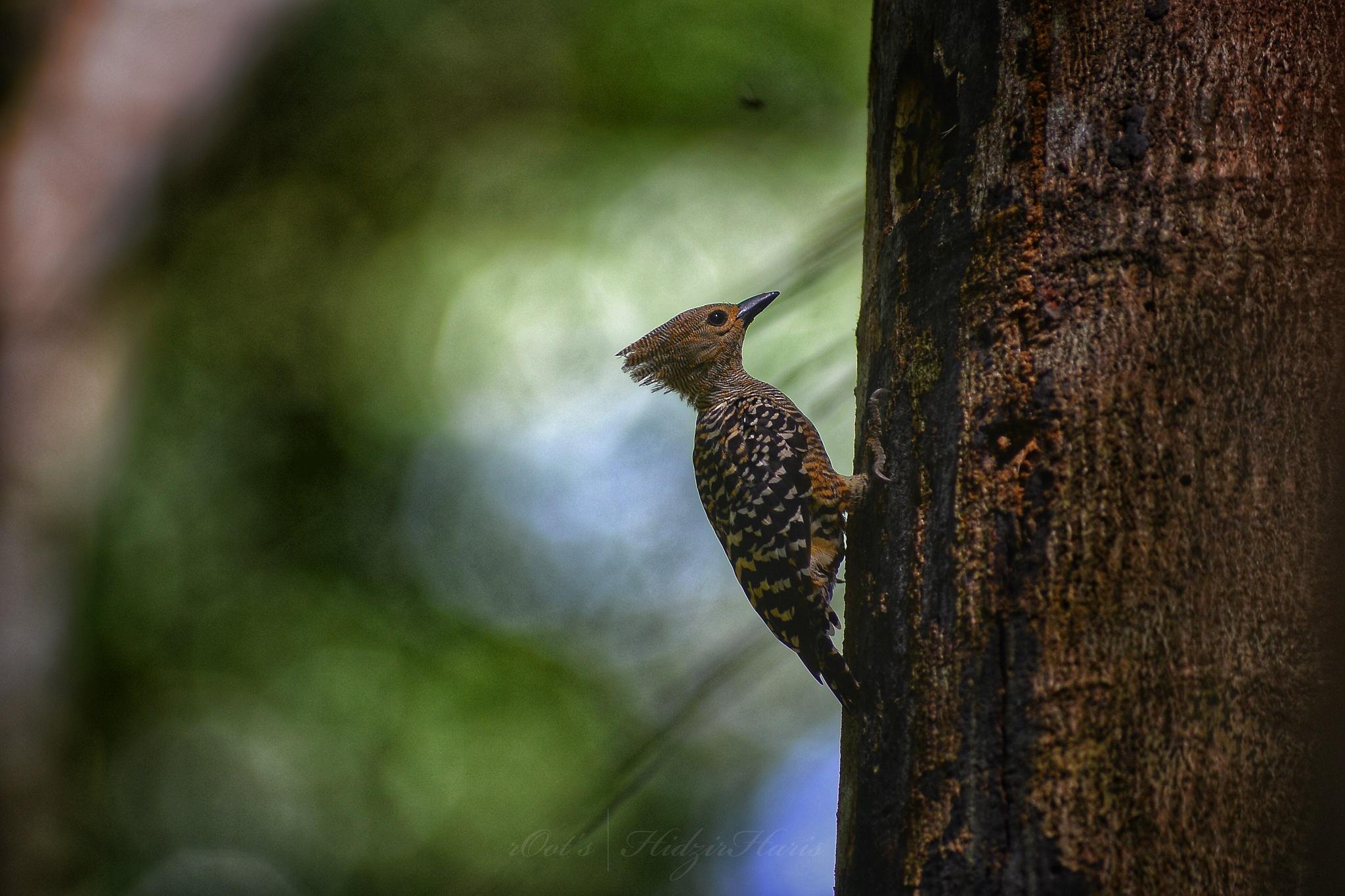 Buff-rumped woodpecker~ Meiglyptes tristis (Female)  by HidzirHaris