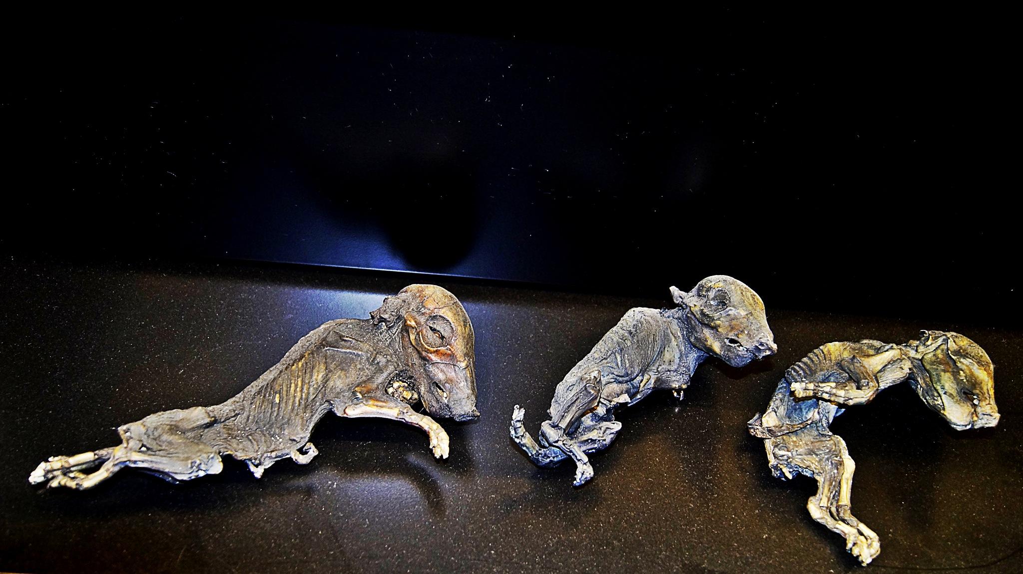 Mummified Embryos by hippymedia