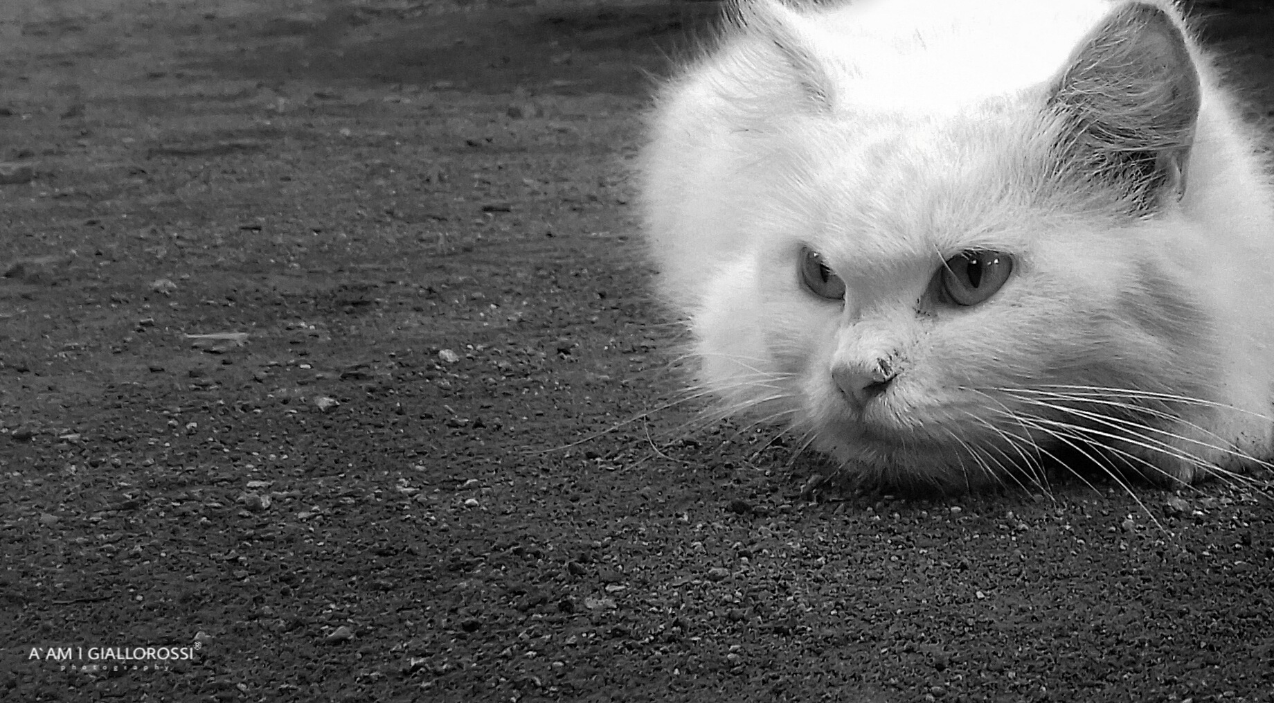 cat by Aam I Giallorossi