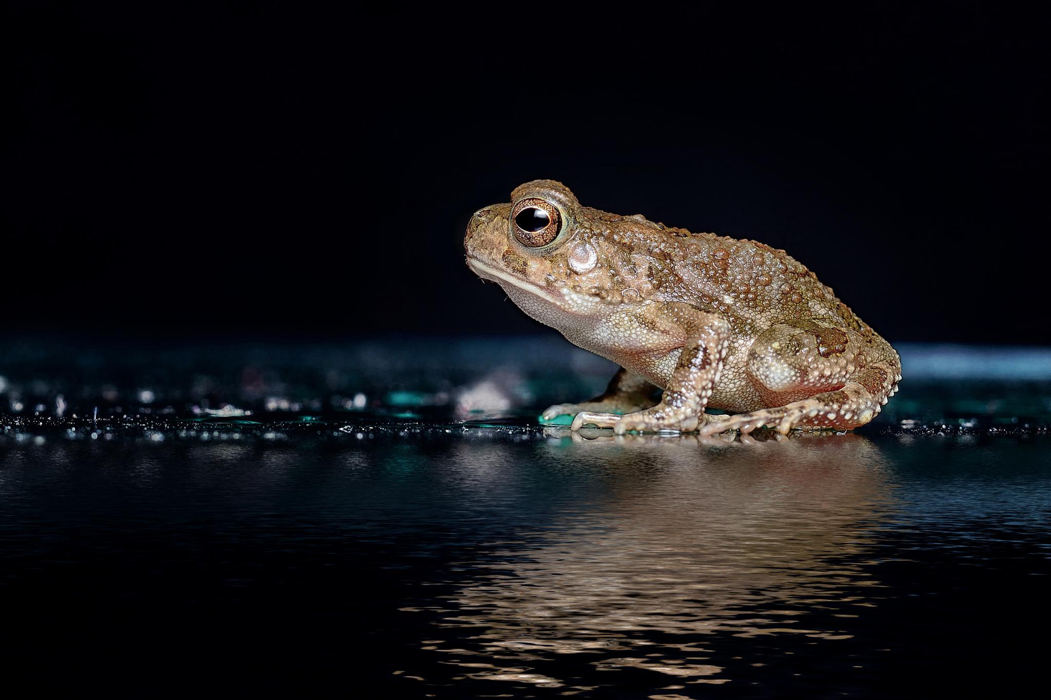 African frog by Mohamed Mahdy