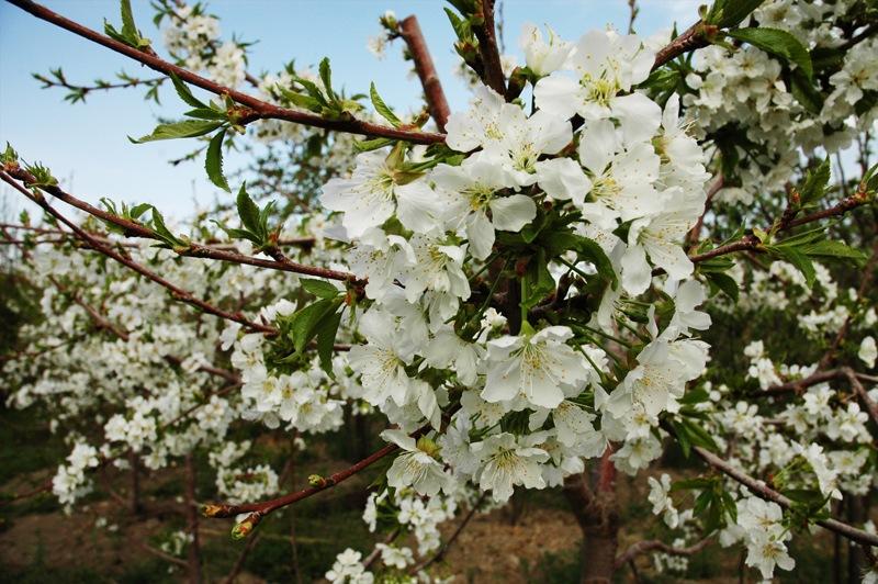 Cherry Blossom by Javad Ahmadi