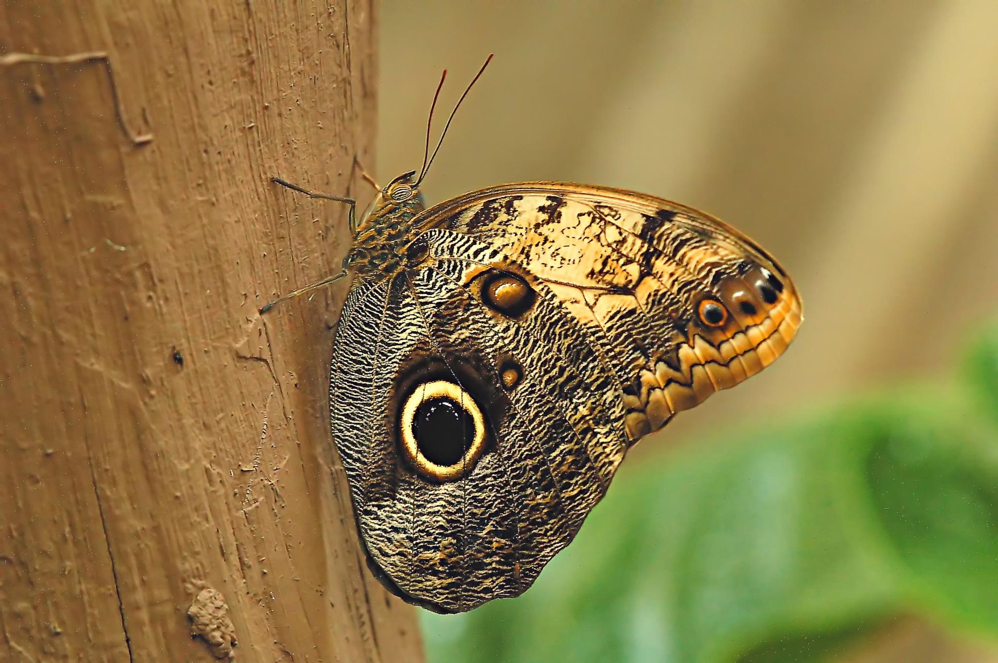 Butterfly by podnar