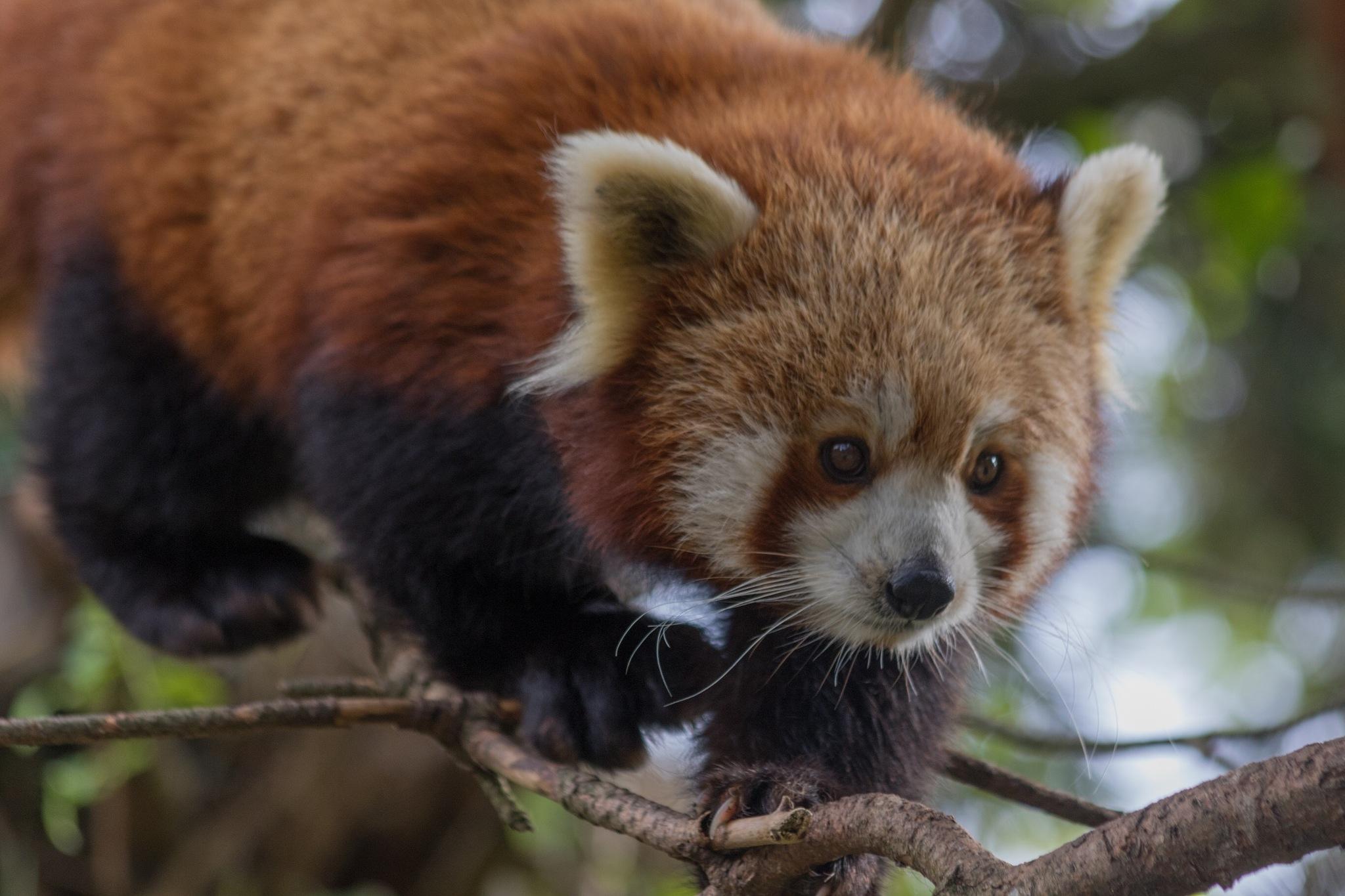 Red panda on the hunt by Bjarne Gertz Pedersen