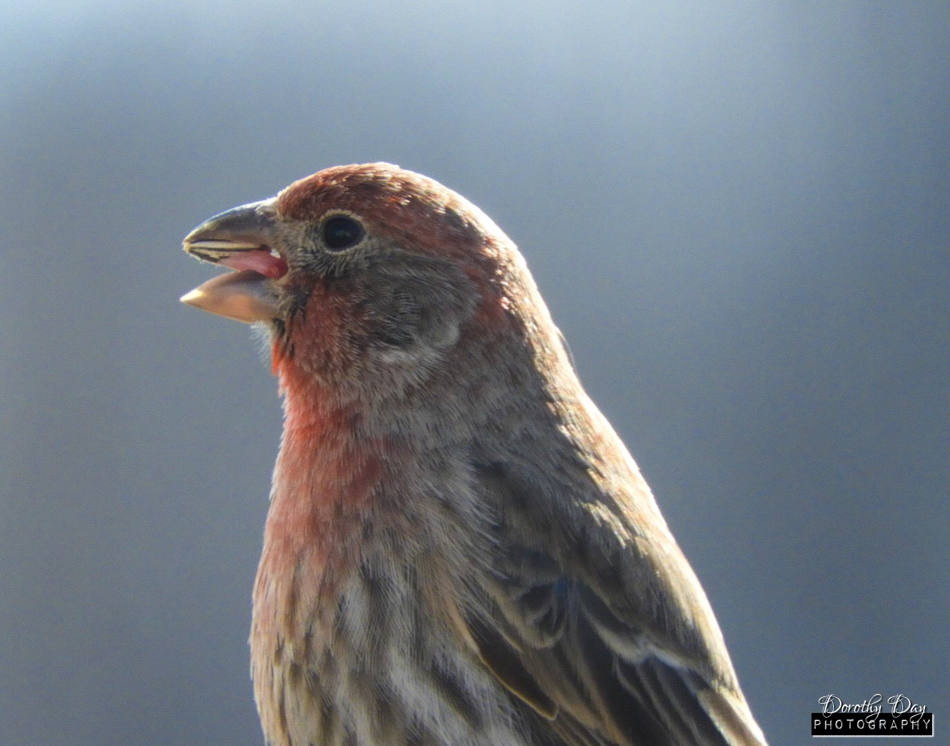 Male House Finch by Dorothy D