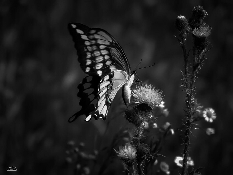 B&W Butterfly by Dorothy D