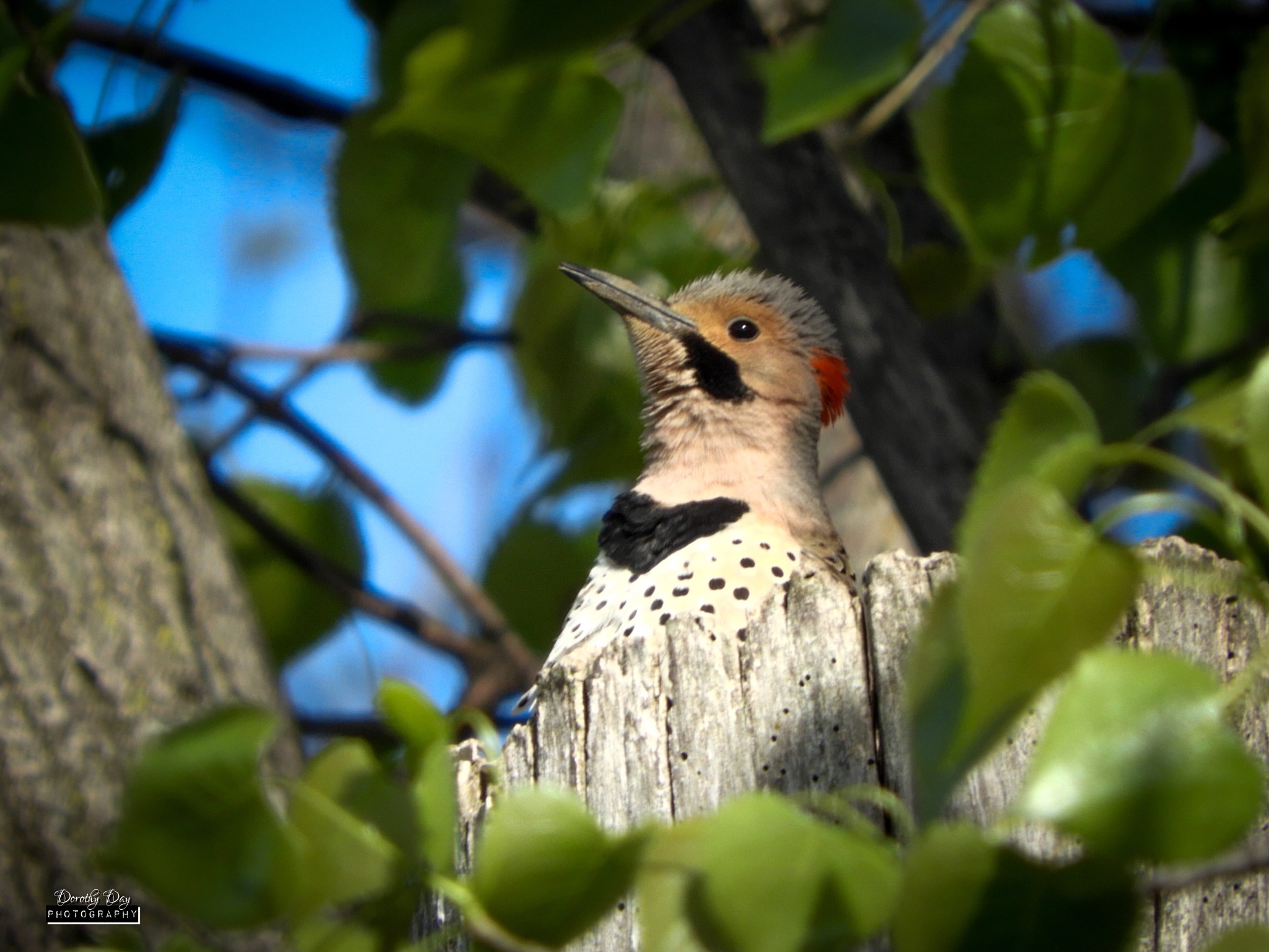 Red Bellied Woodpecker by Dorothy D