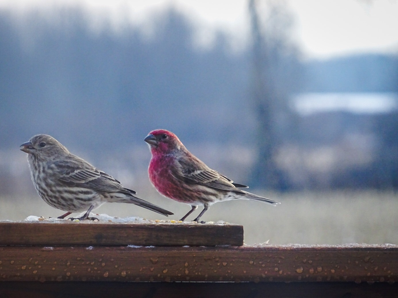 Finch Couple :) by Dorothy D