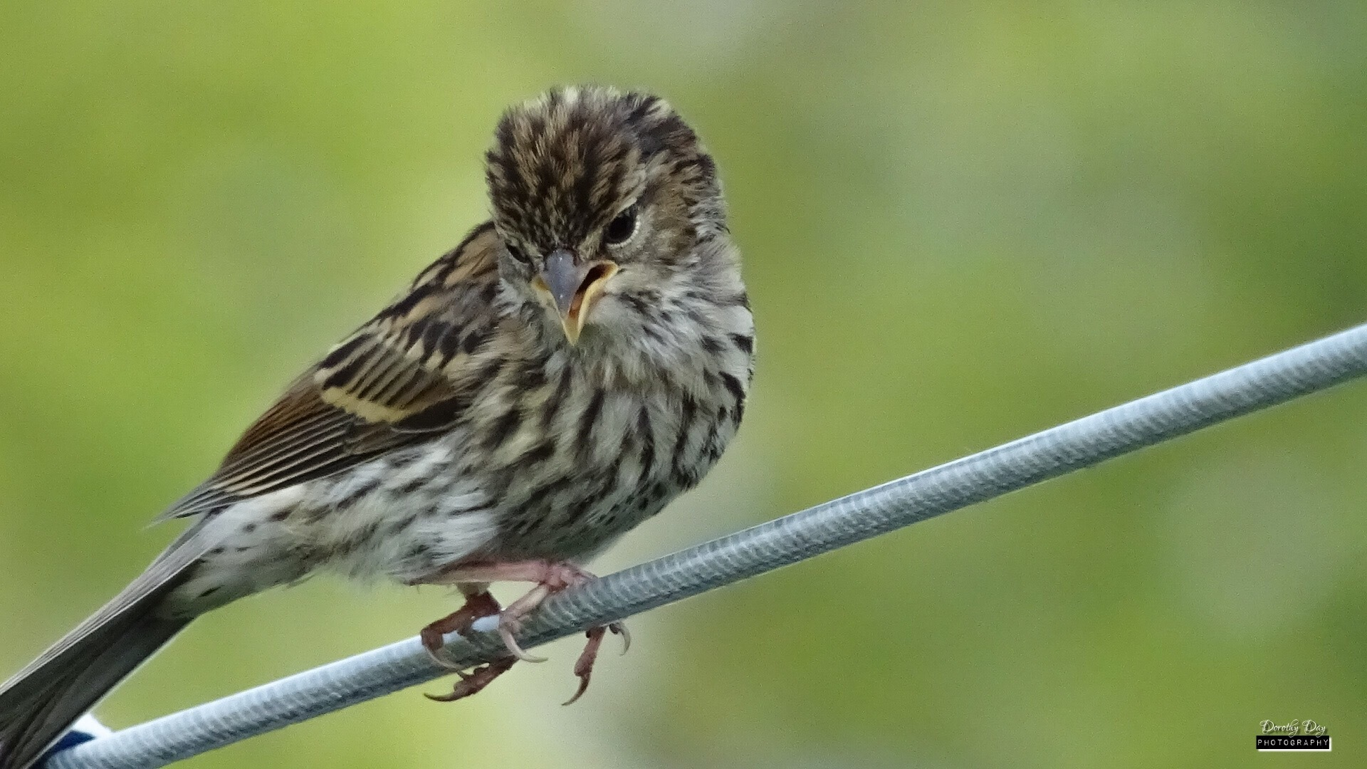 Young Tree Sparrow by Dorothy D