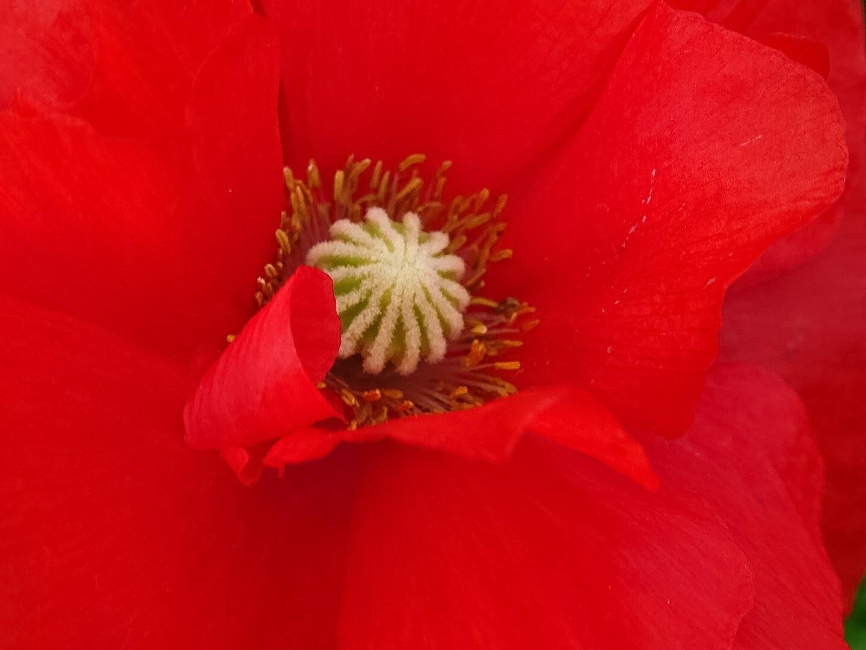 Poppy by Dorothy D