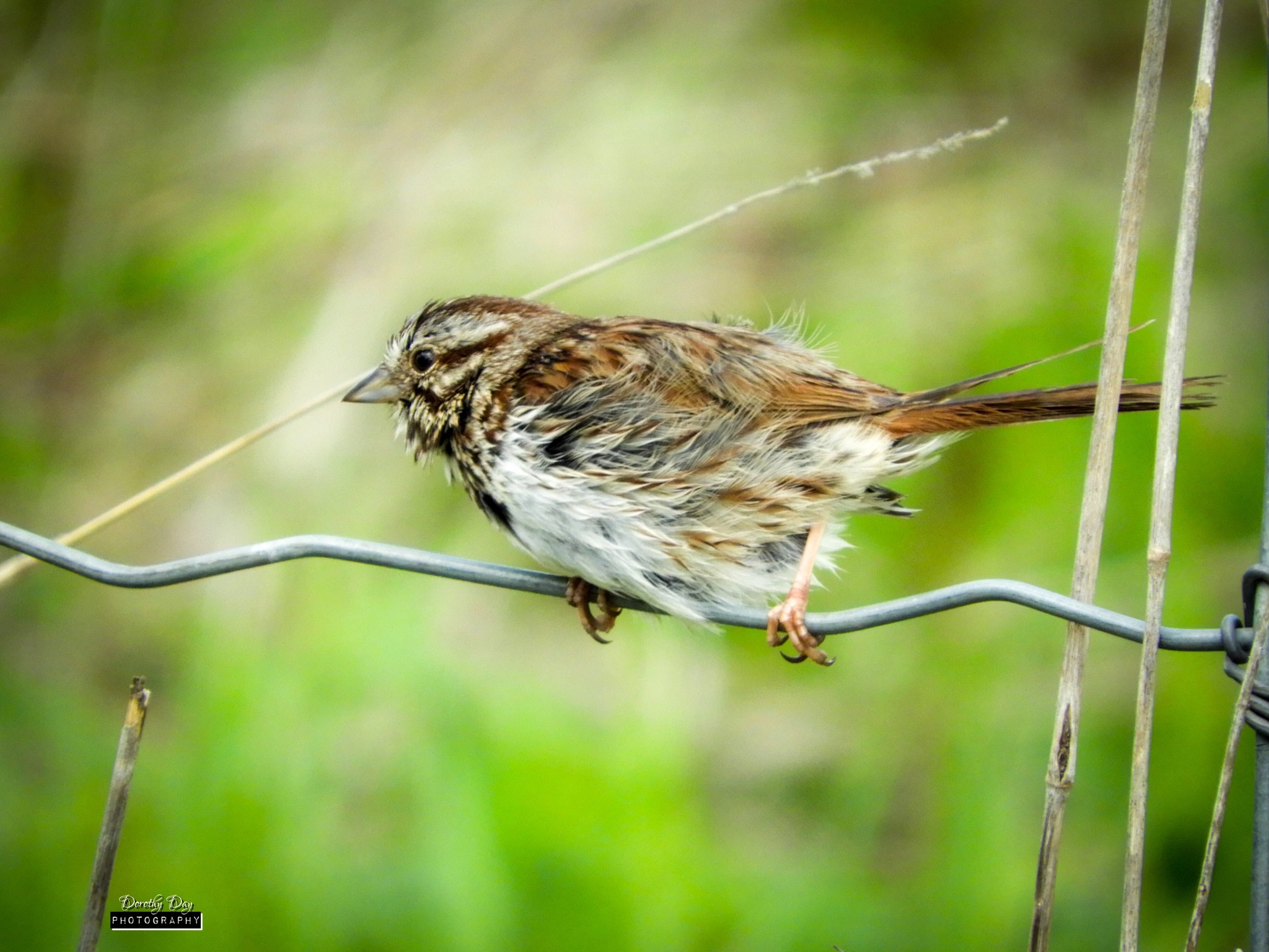 Song Sparrow by Dorothy D
