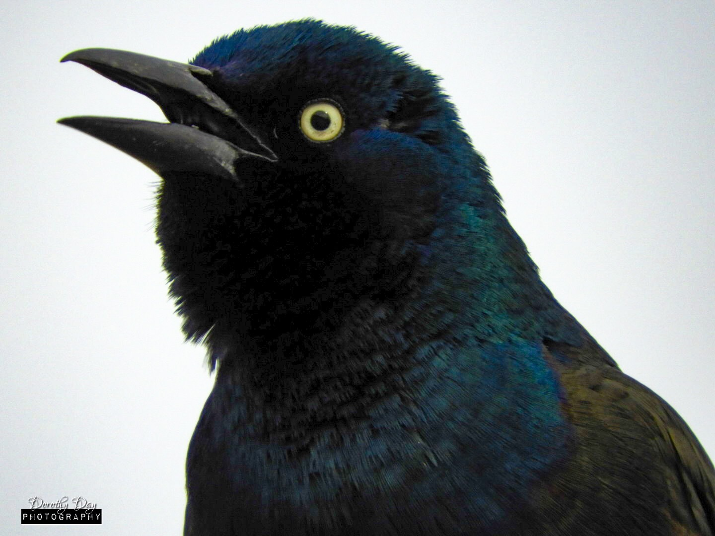 Grackle Close-up by Dorothy D