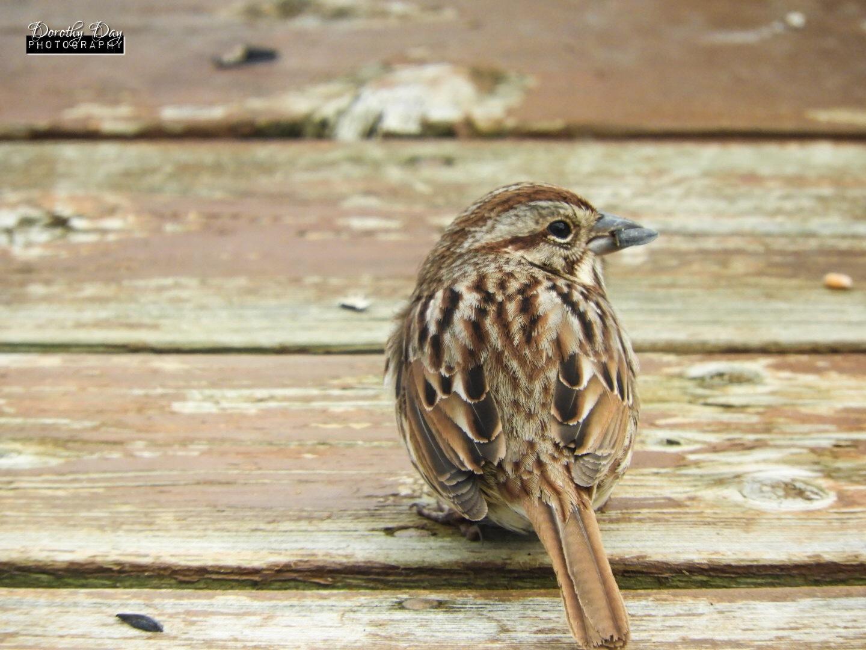 Sparrow by Dorothy D