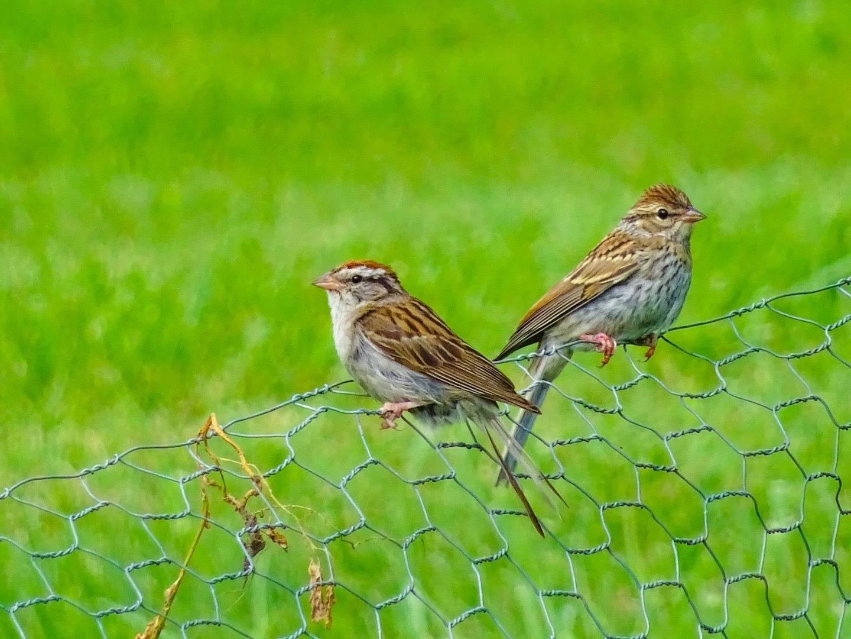 Sparrow Pair by Dorothy D