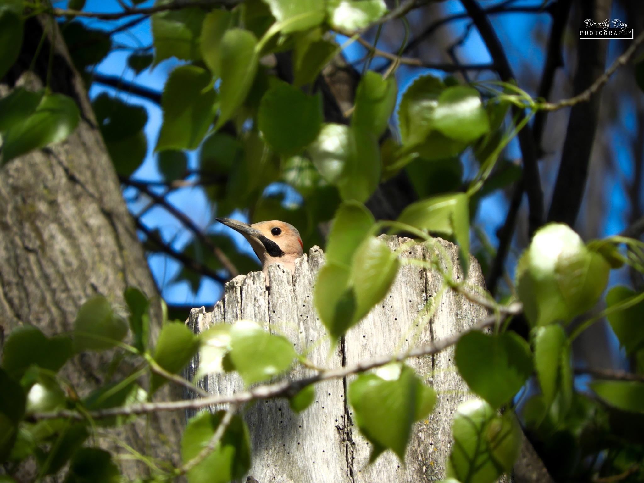 Peek-A-Boo Woodpecker ;) by Dorothy D