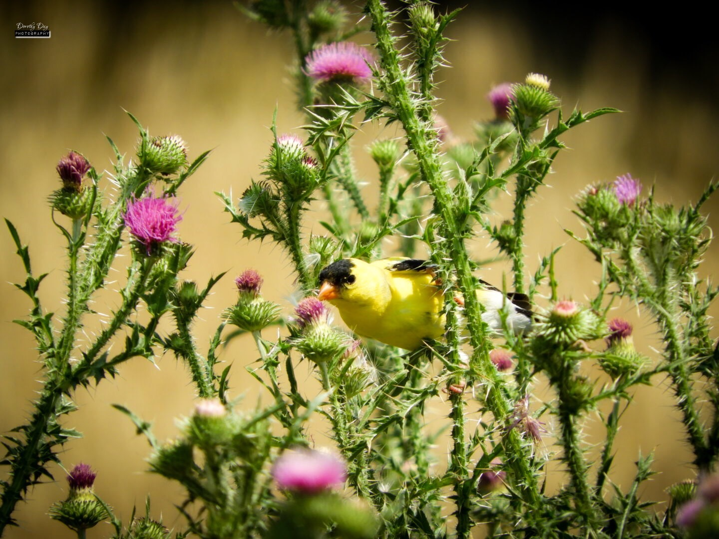 Male Goldfinch by Dorothy D