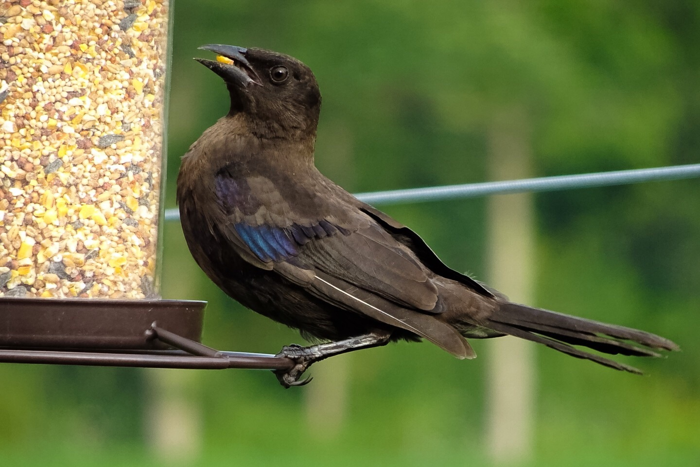 Young Grackle by Dorothy D