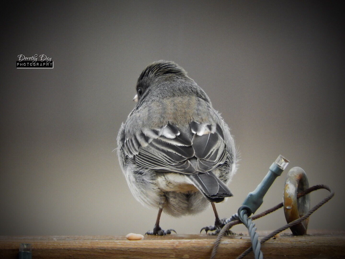 Junco by Dorothy D