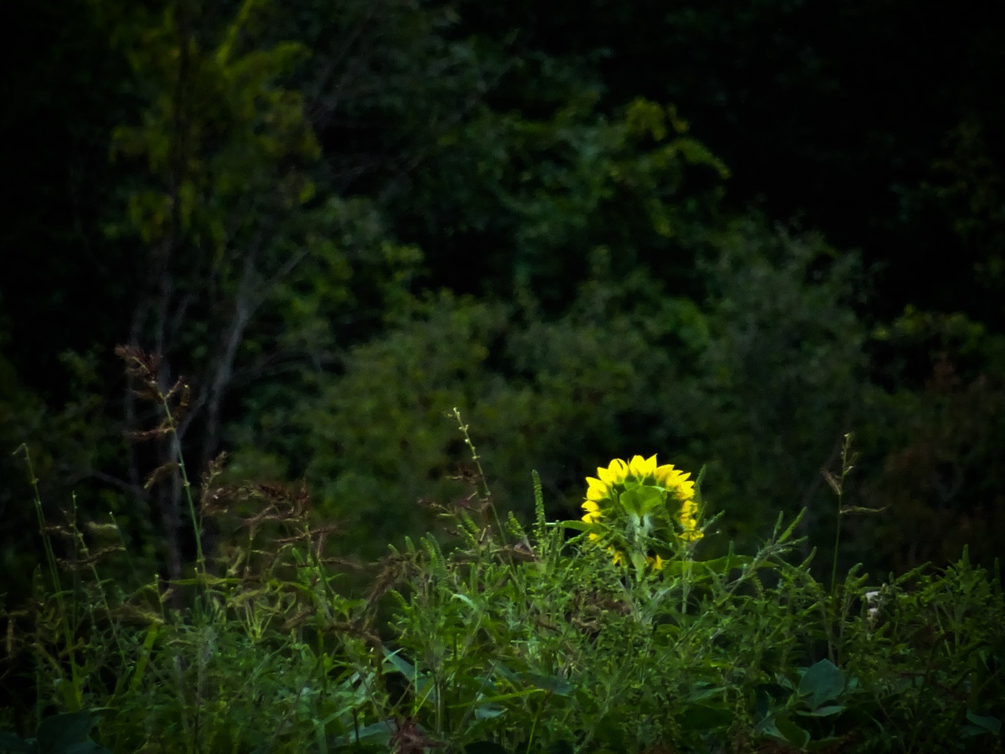 Lone Sunflower by Dorothy D