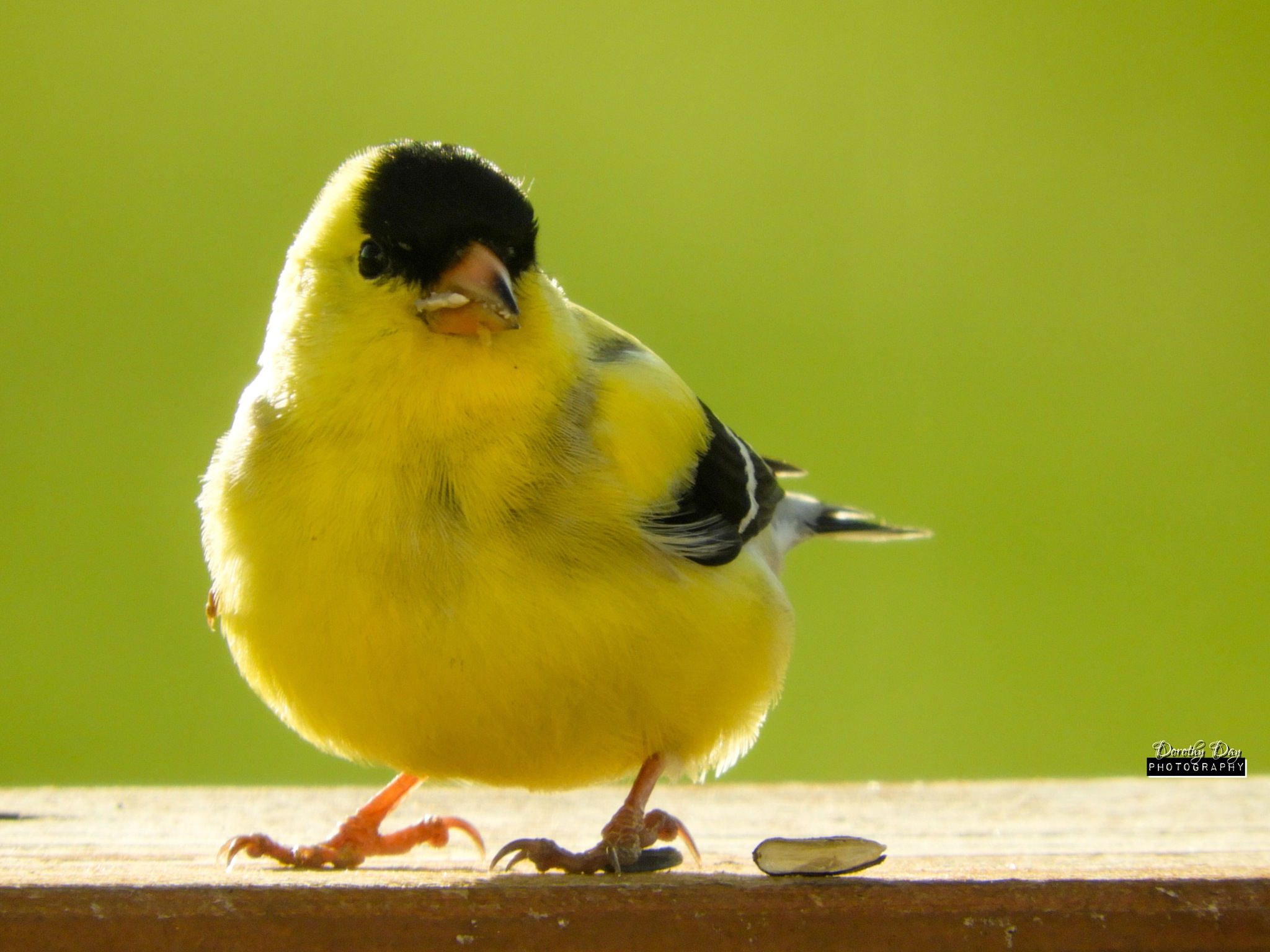 Goldfinch by Dorothy D