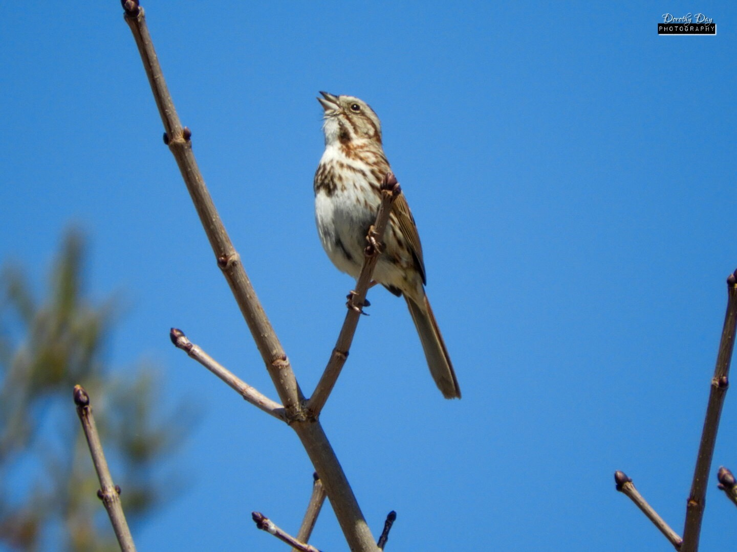 Song Sparrow Singing ;) by Dorothy D