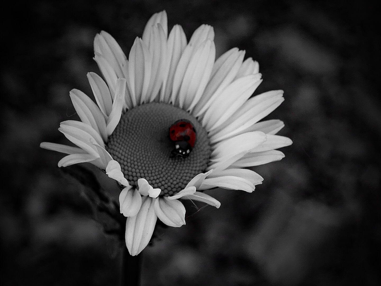 Ladybug by Dorothy D