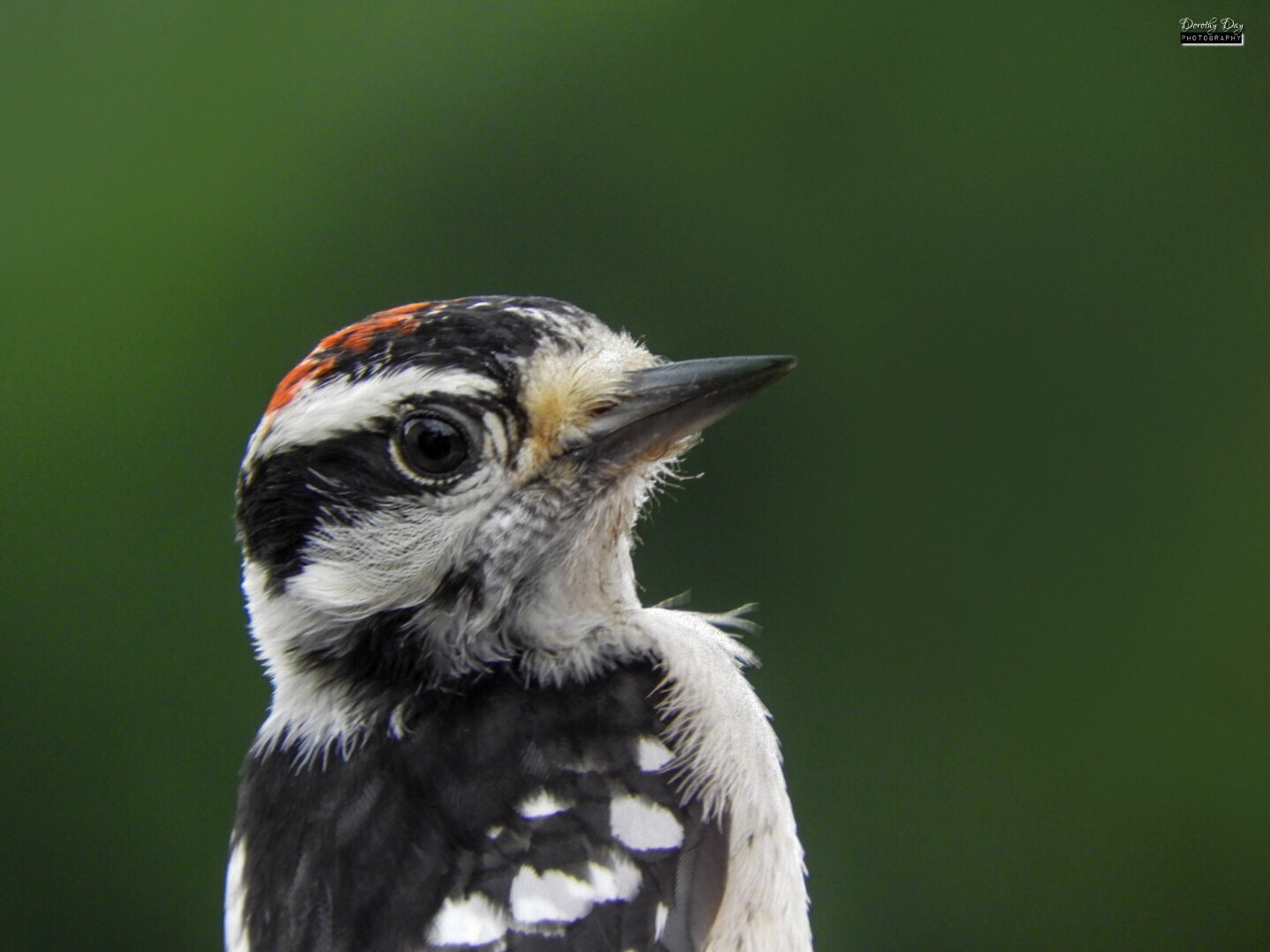 Male Downy Woodpecker by Dorothy D