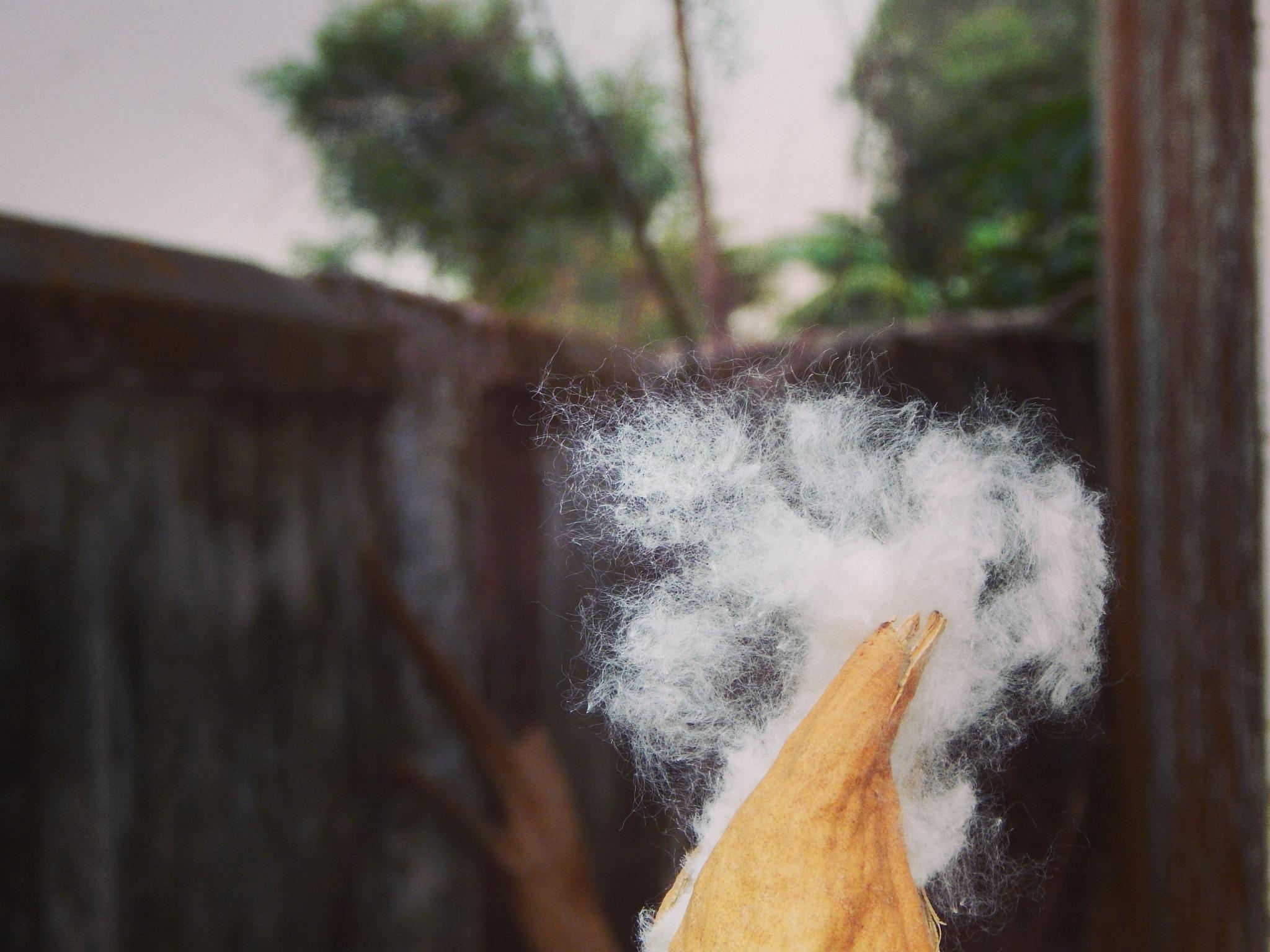 white silk cotton by Snehasis Dash