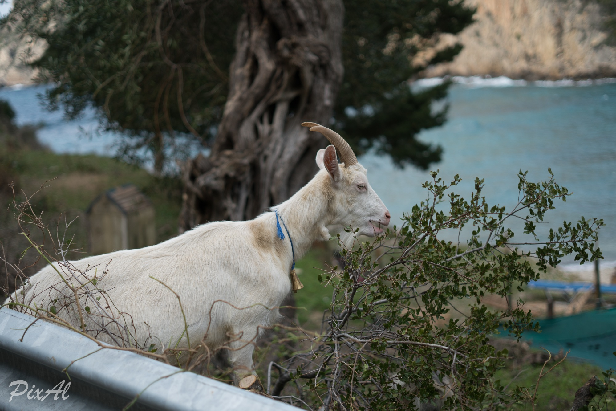 Goat by PixAl Photography