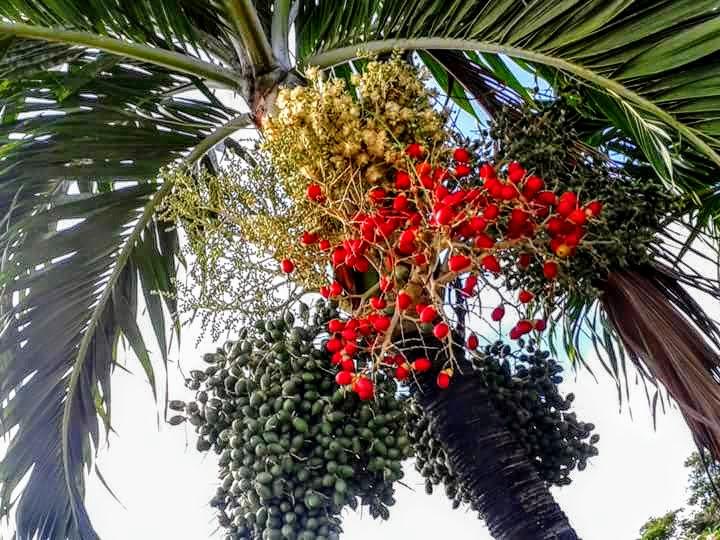 Palm-dendém/Dendezeiro  by Sonja