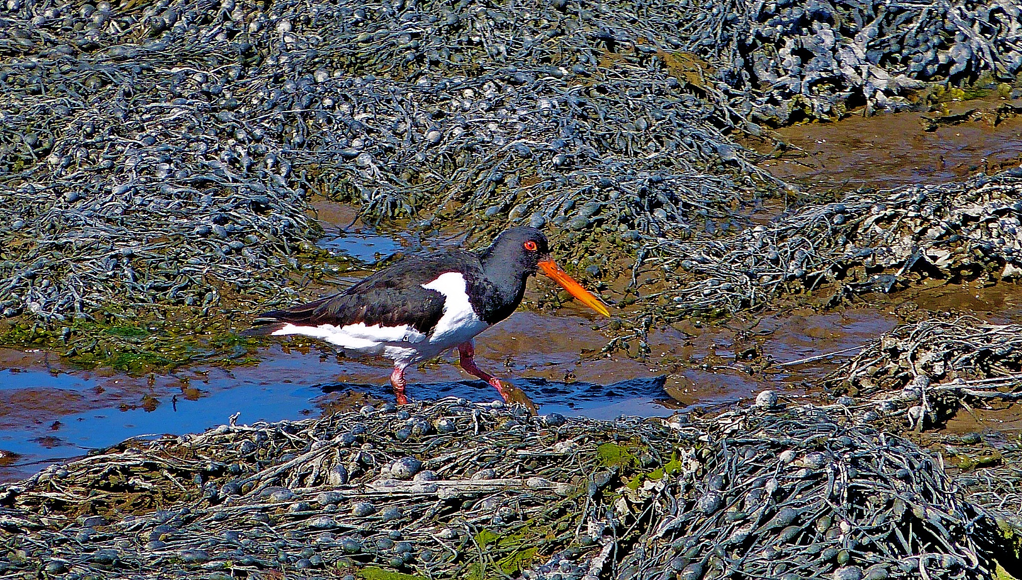Oystercatcher  by PeterMChambers
