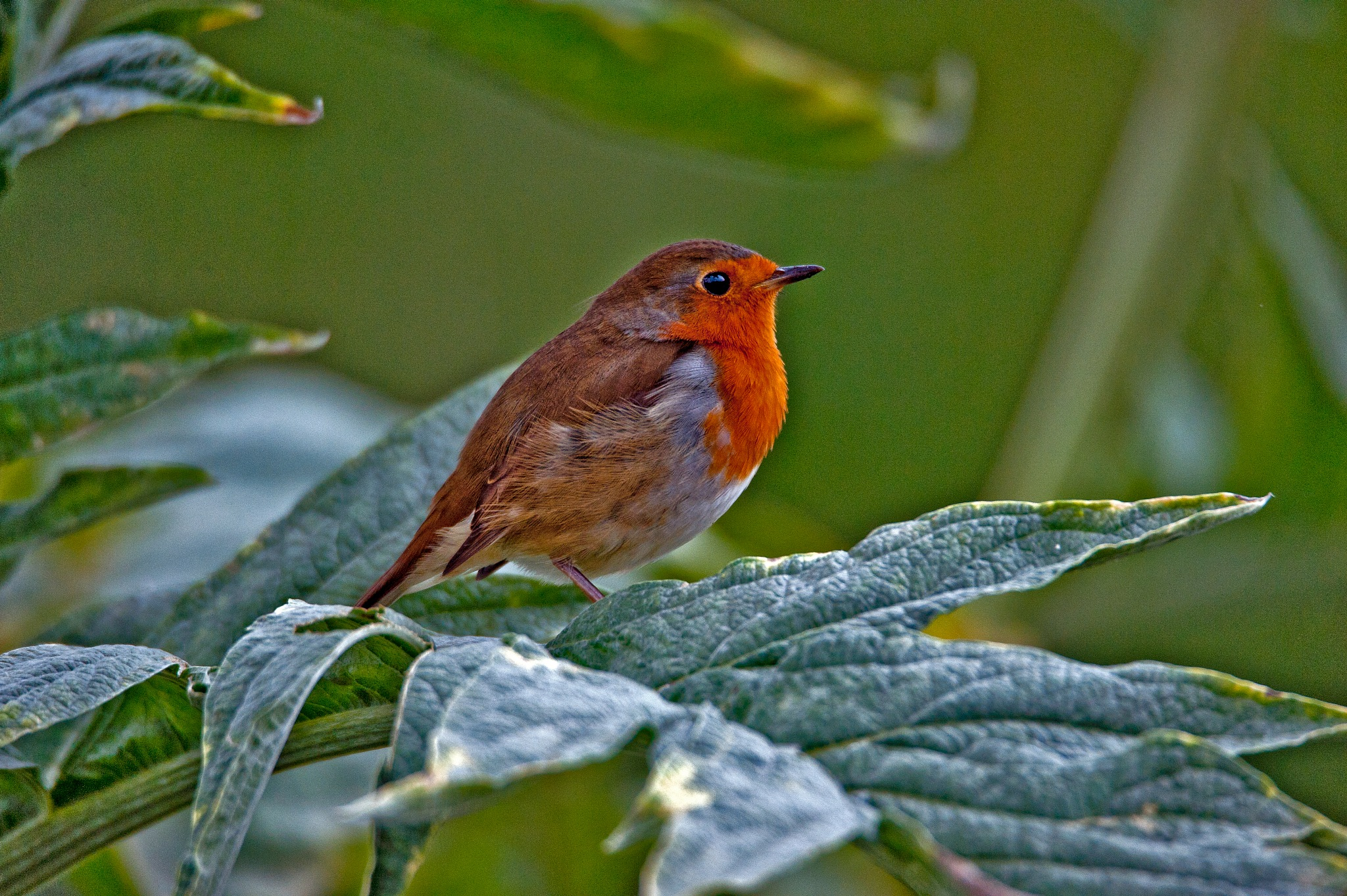Red Brest  by PeterMChambers