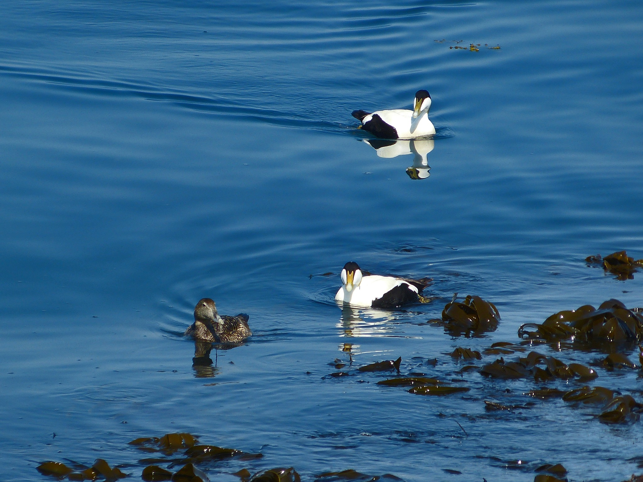 Eider One by PeterMChambers