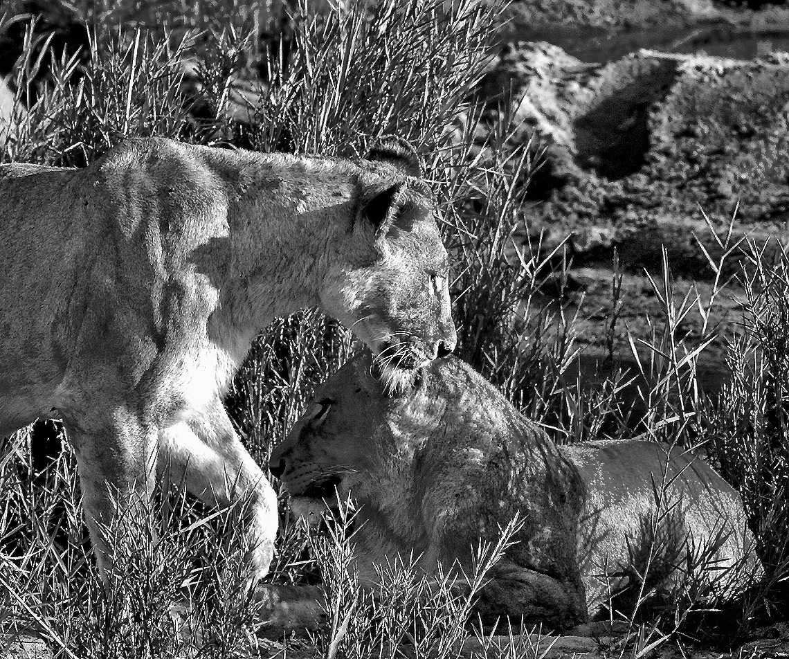 B & W Lionesses  by PeterMChambers