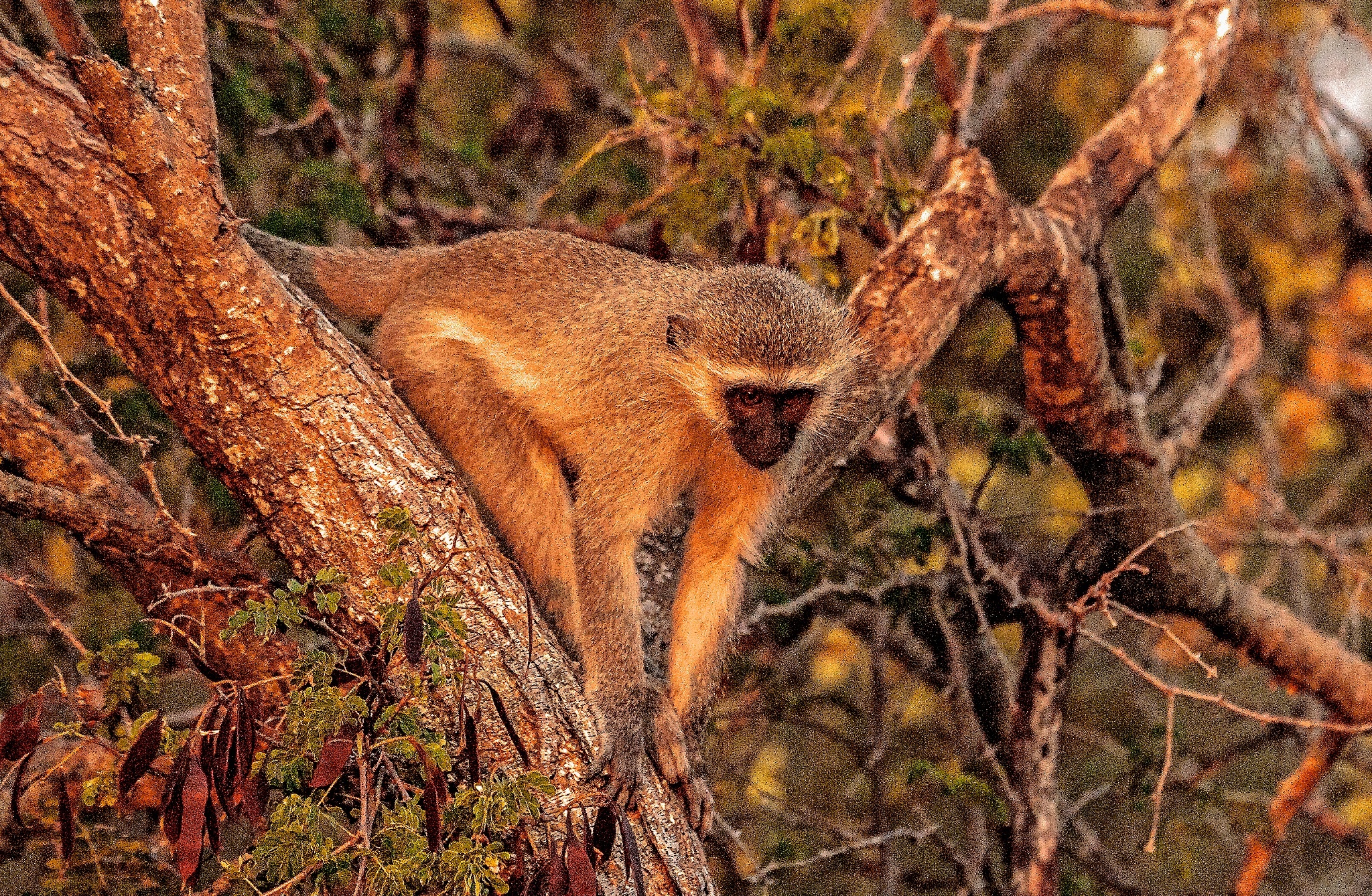 Monkey  by PeterMChambers