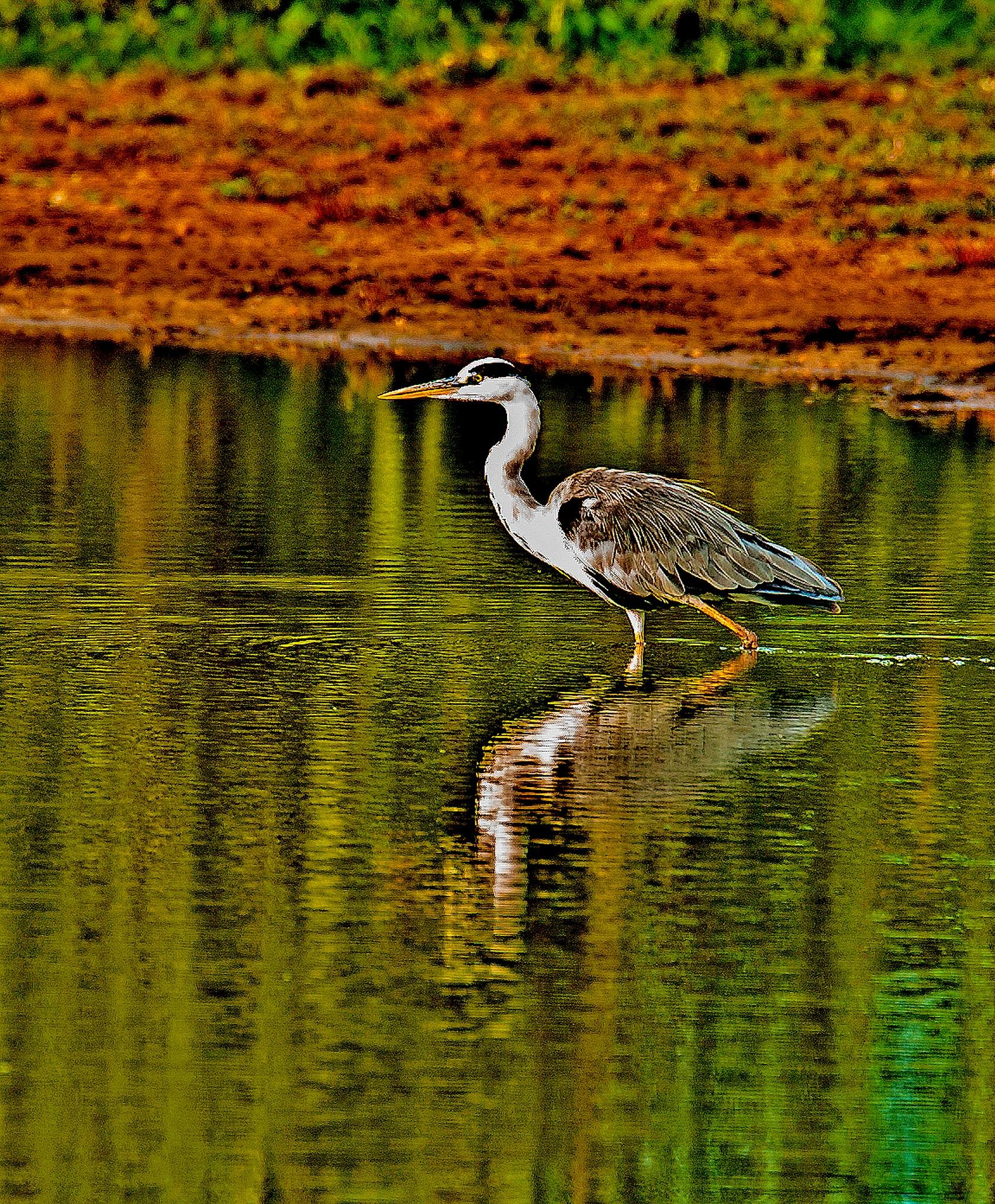 Heron by PeterMChambers