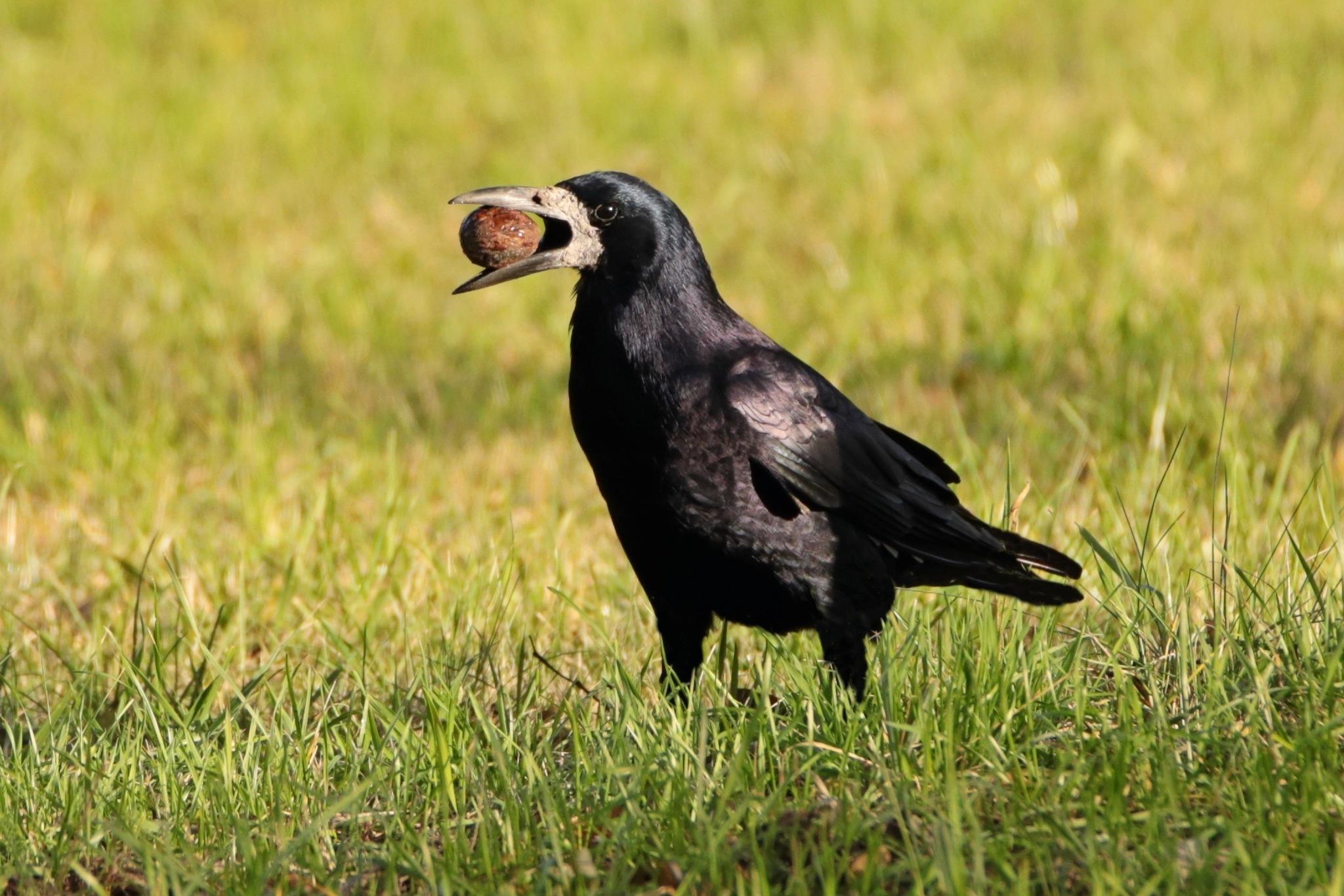 Rook (Corvus frugilegus) by Katarzyna Pyka