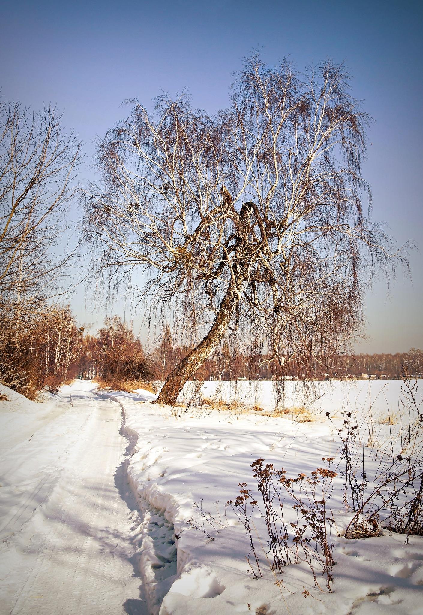 Old birch tree by Katarzyna Pyka