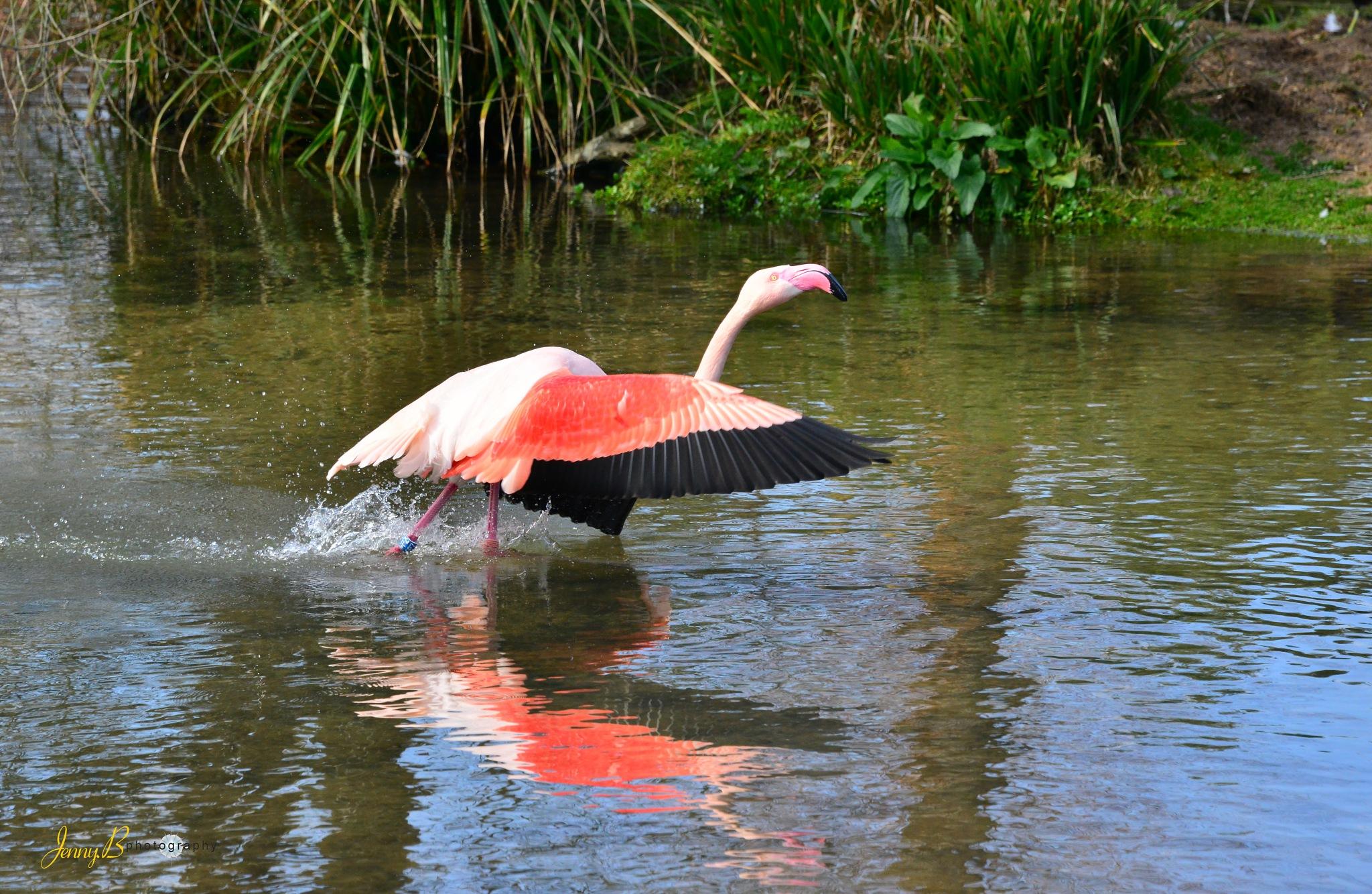 Flamingo by jb_127  ( jennybphotography)