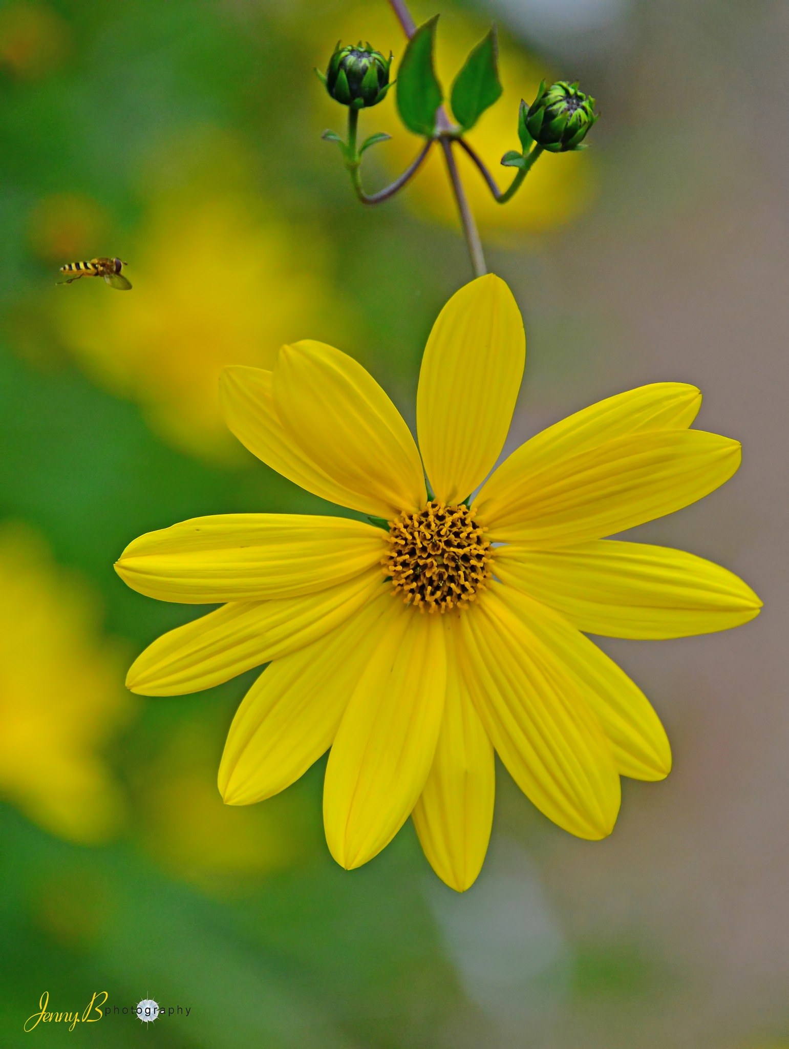 Hover Fly and Flower by jb_127  ( jennybphotography)