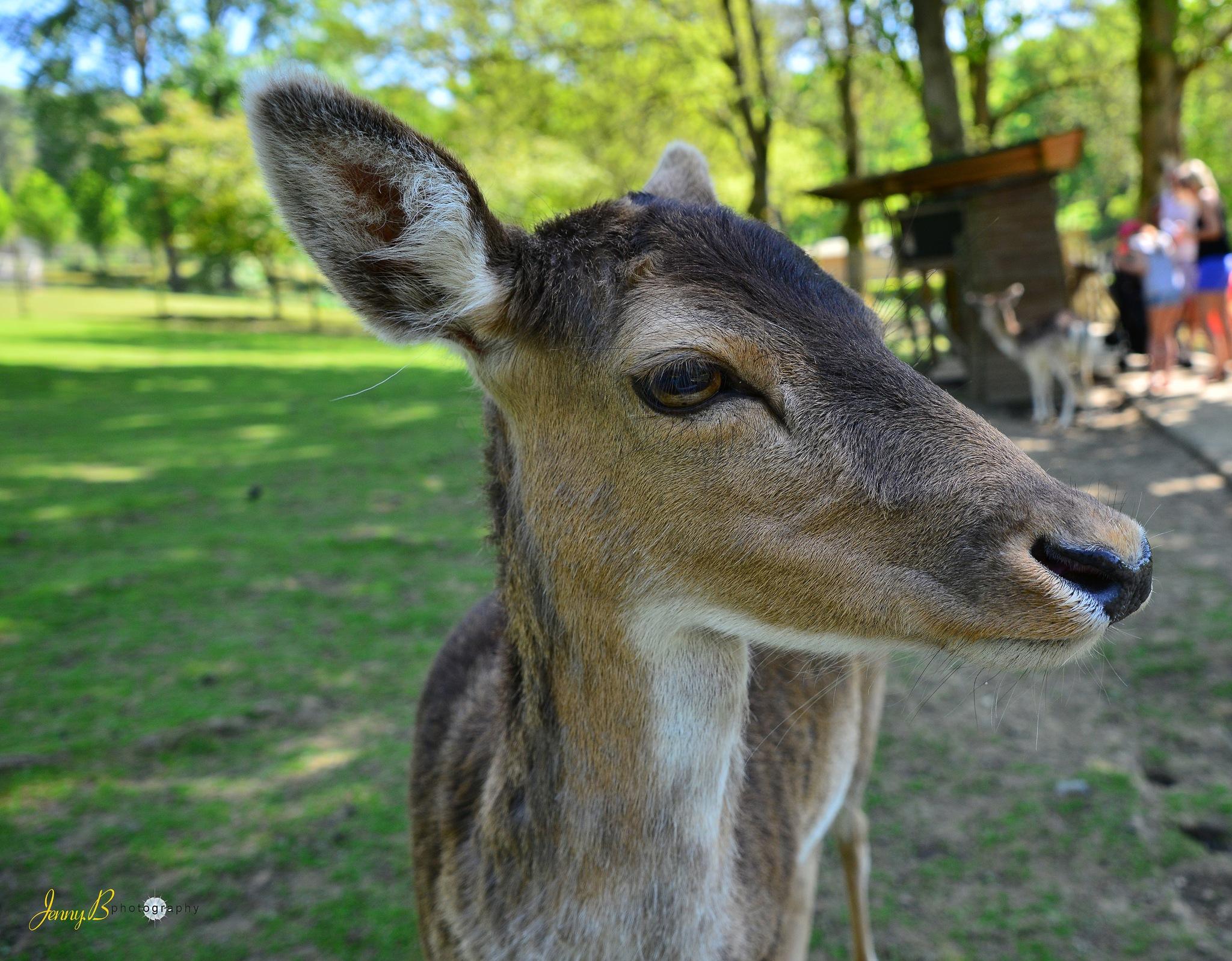 Fallow Deer by jb_127  ( jennybphotography)