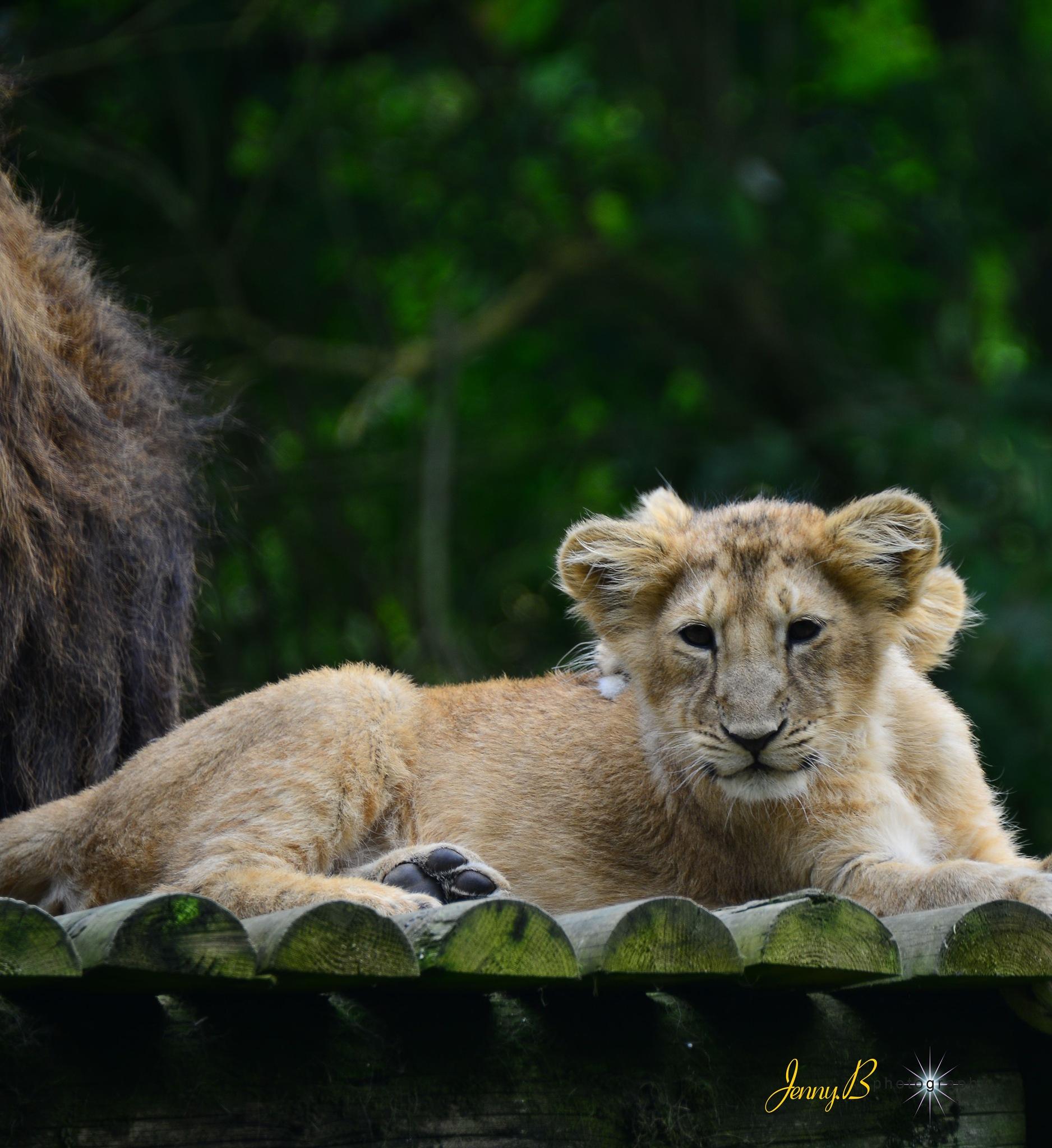 Lion Cub by jb_127  ( jennybphotography)