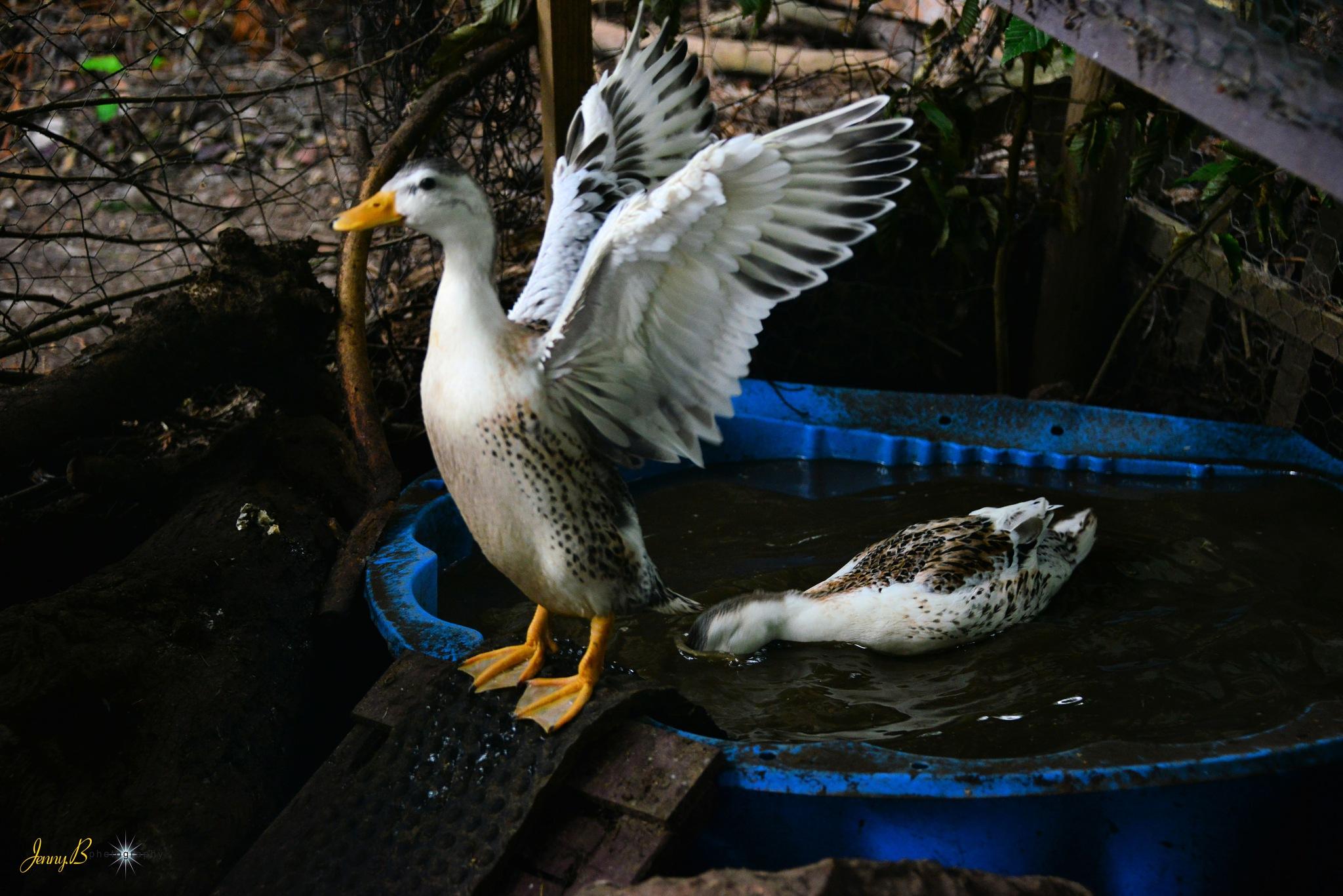Ducks in the garden  by jb_127  ( jennybphotography)
