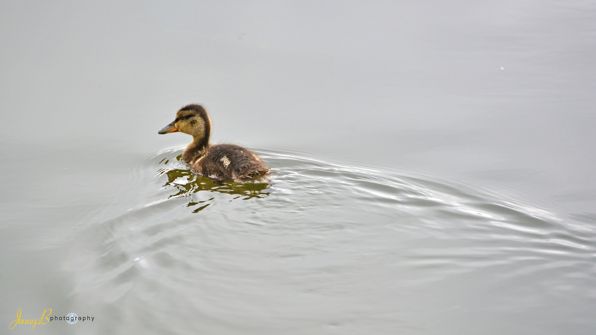 duckling by jb_127  ( jennybphotography)