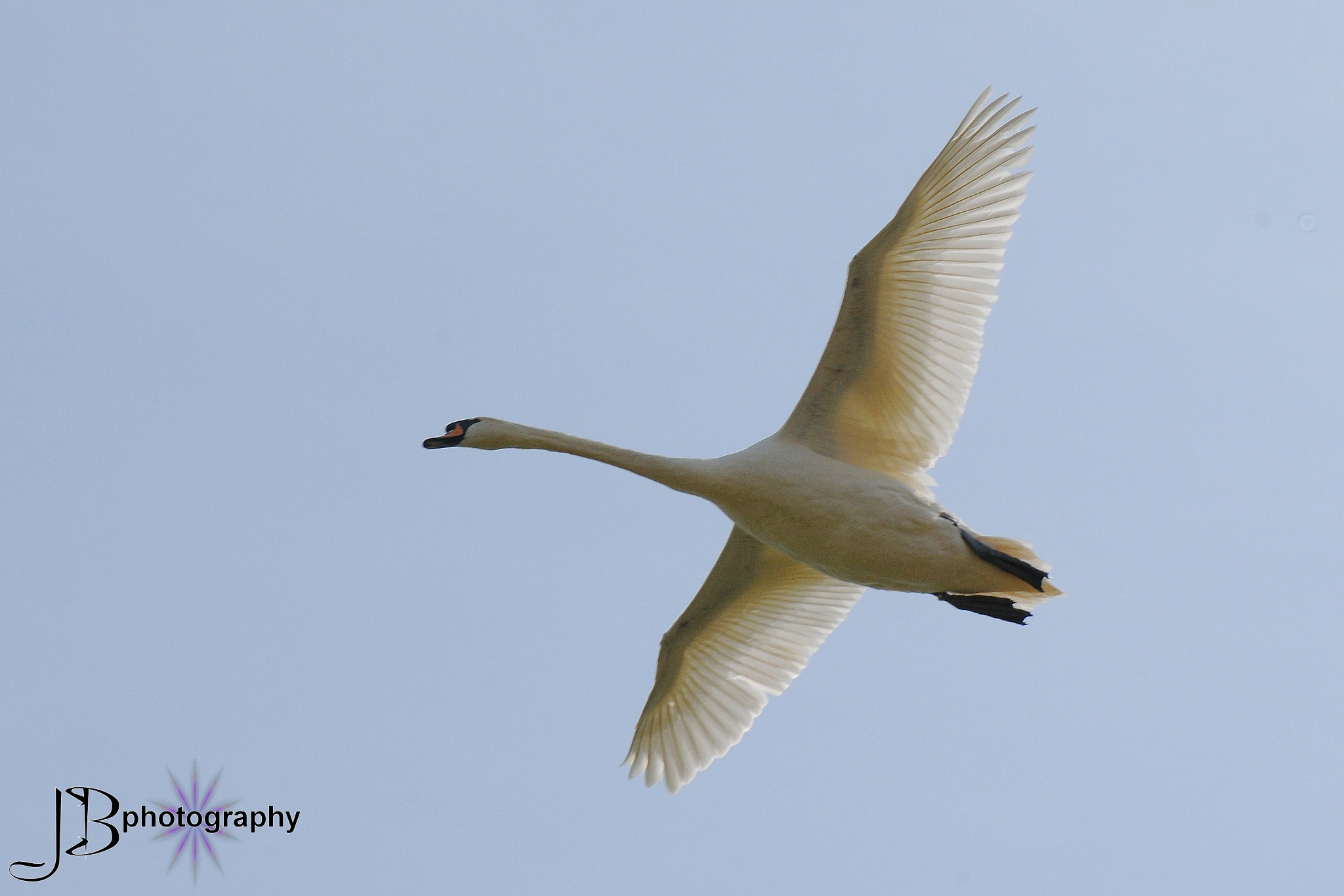 Swan in flight by jb_127  ( jennybphotography)