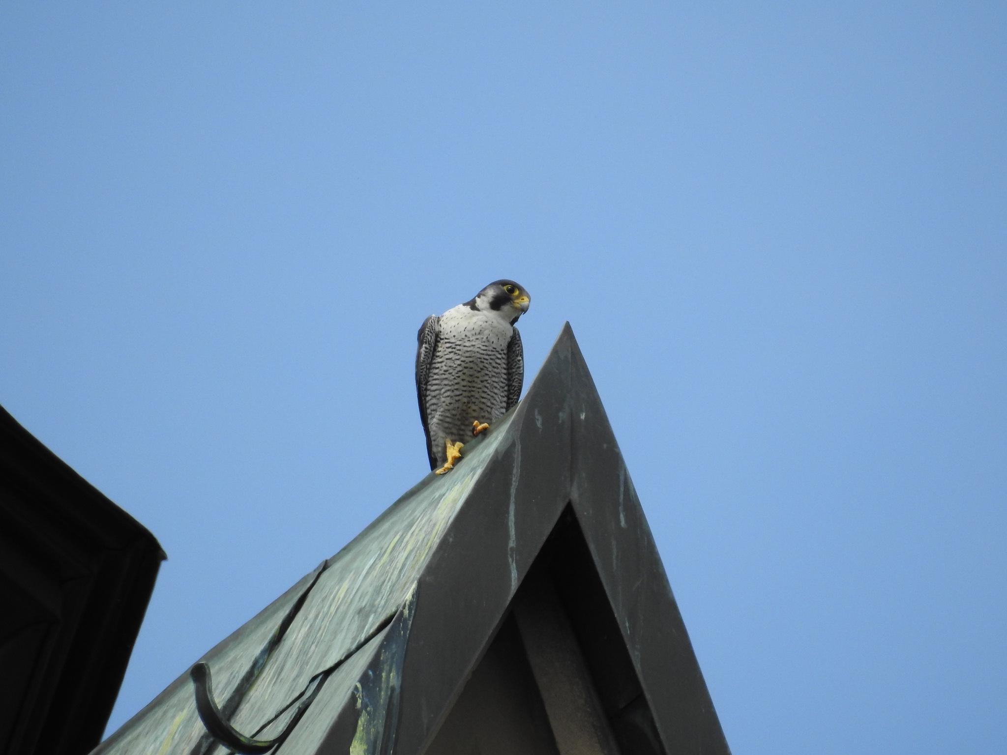 Female Peregrine falcon by Jochen Roth
