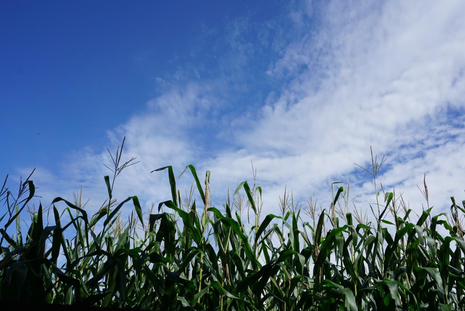 トウモロコシ畑 by HIRO