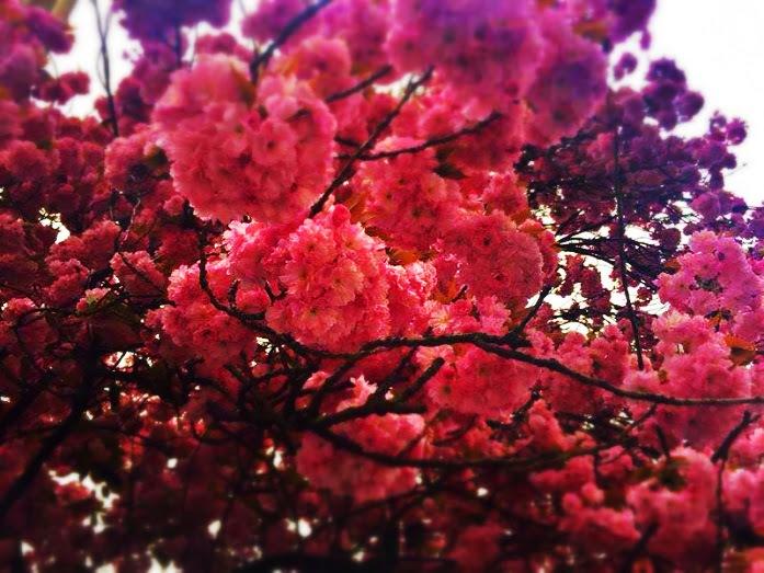 Cerejeiras by soniatelmira