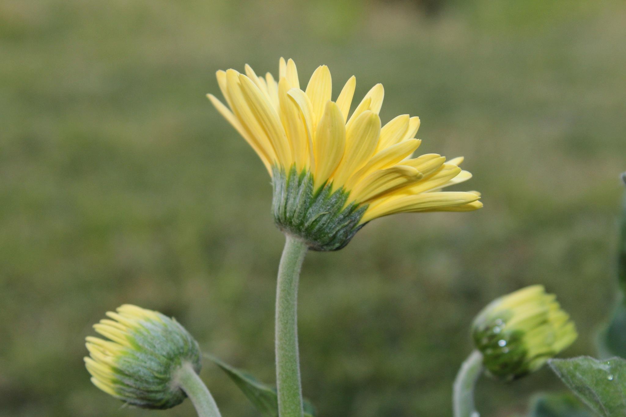 Yellow Gerbera by Yeakuty Jhanker